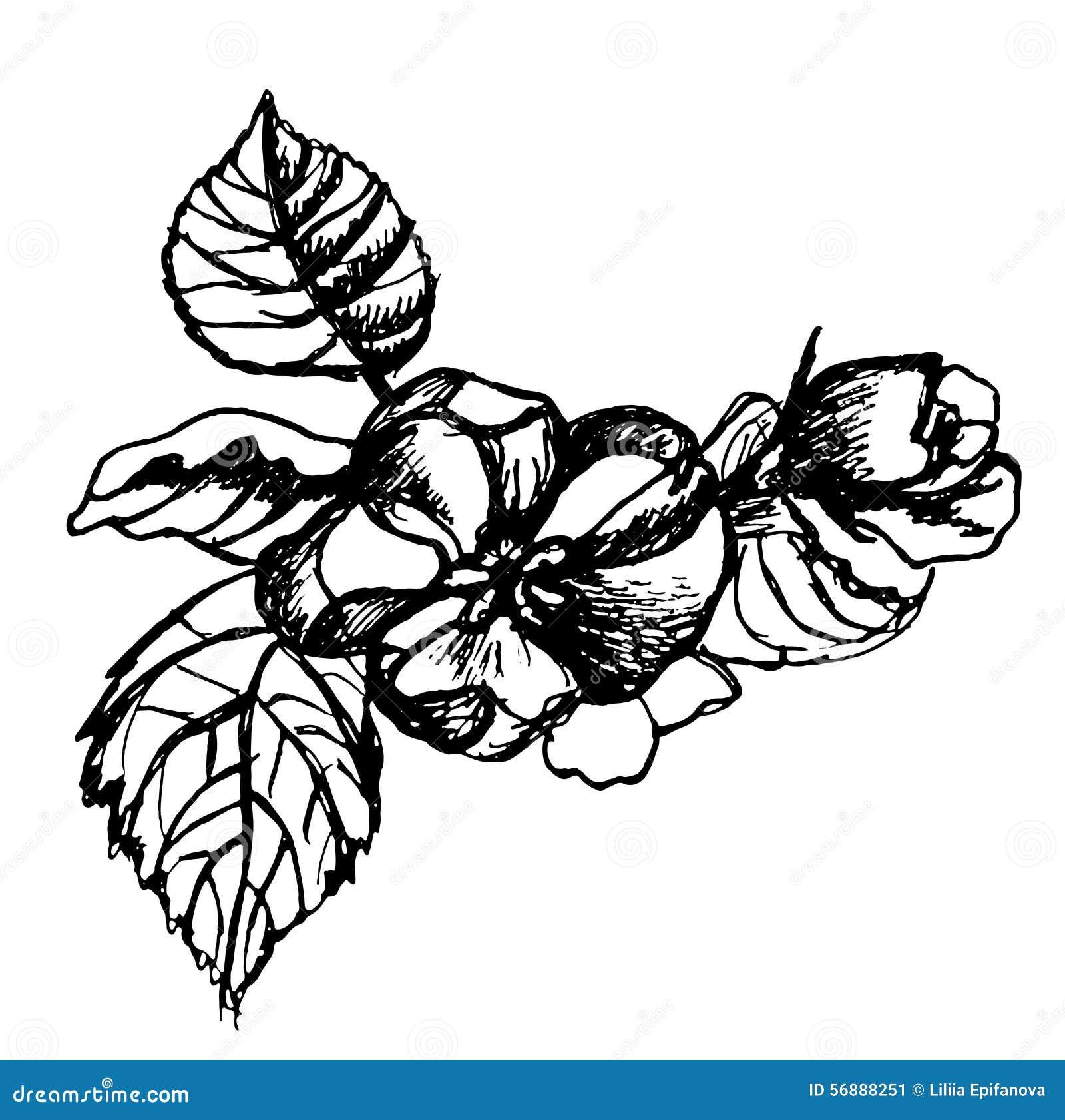 Μήλα λουλουδιών σκίτσων σε μια απεικόνιση κλάδων
