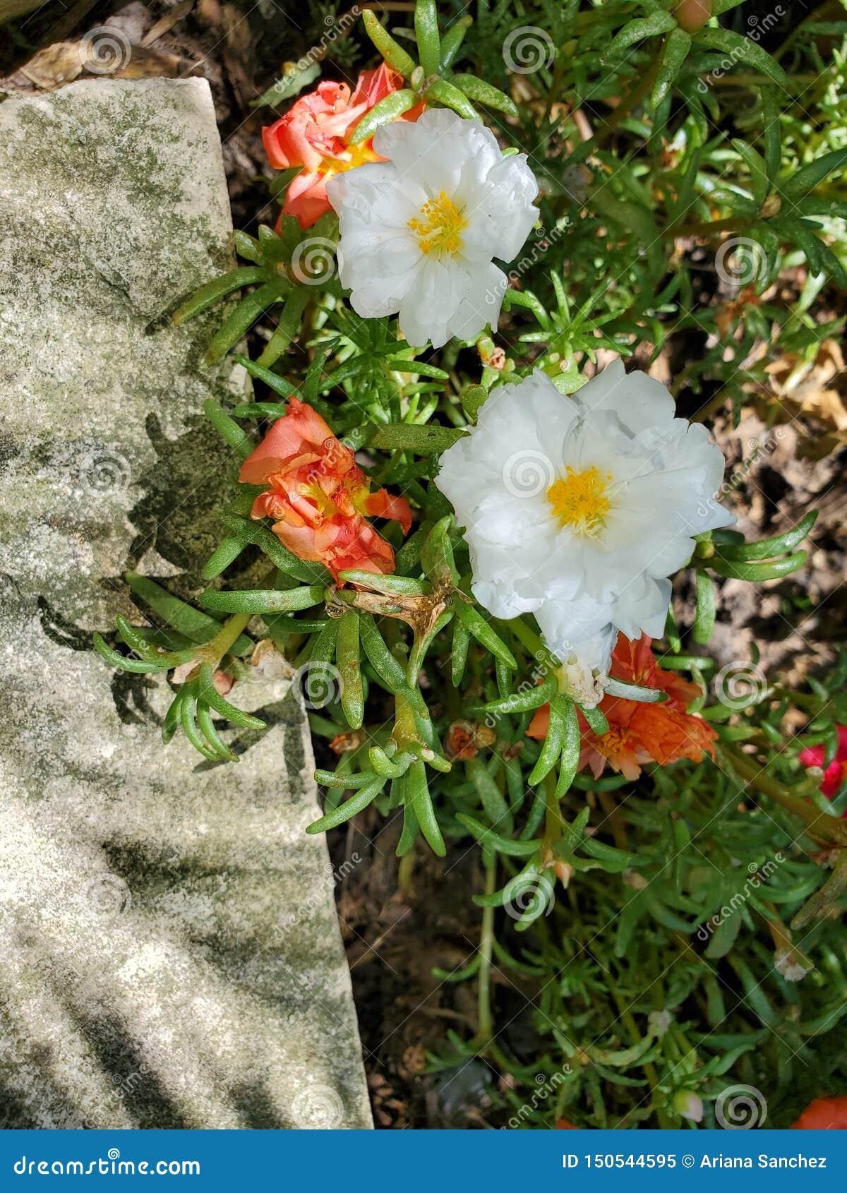 Μίγμα Rose Garden βρύου
