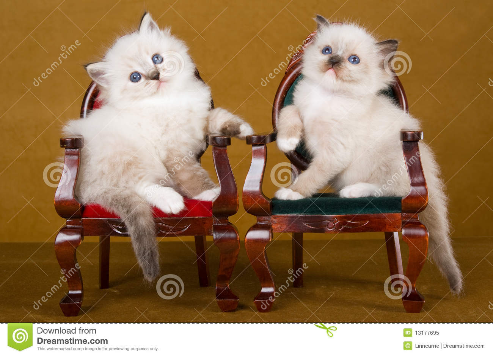 μίνι ragdoll 2 γατακιών εδρών χαριτ&ome