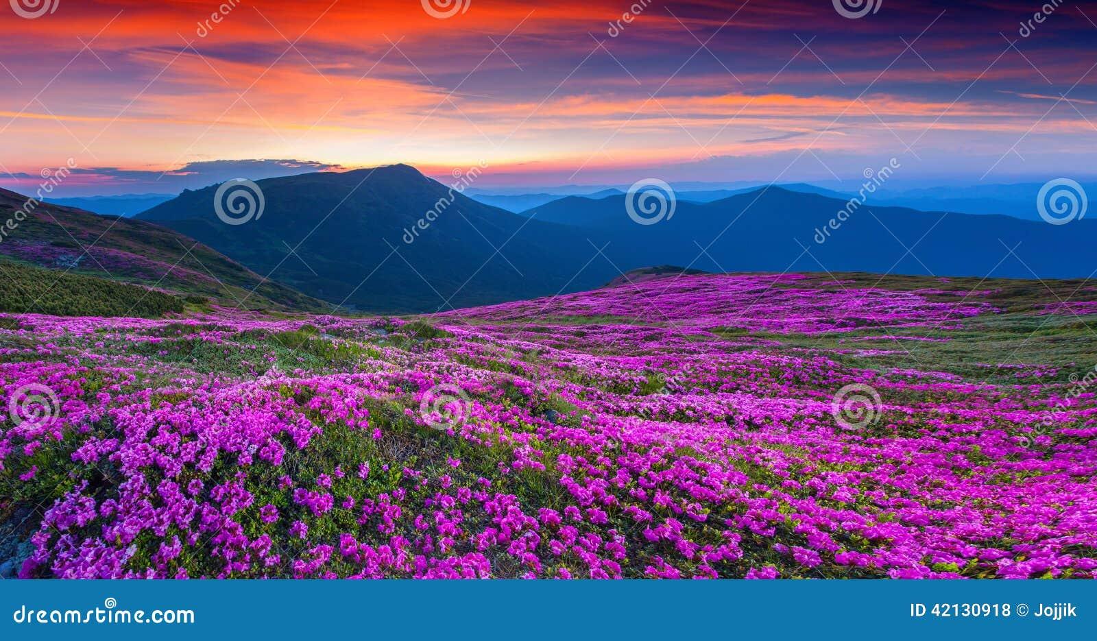 Μαγικά ρόδινα rhododendron λουλούδια στο θερινό βουνό