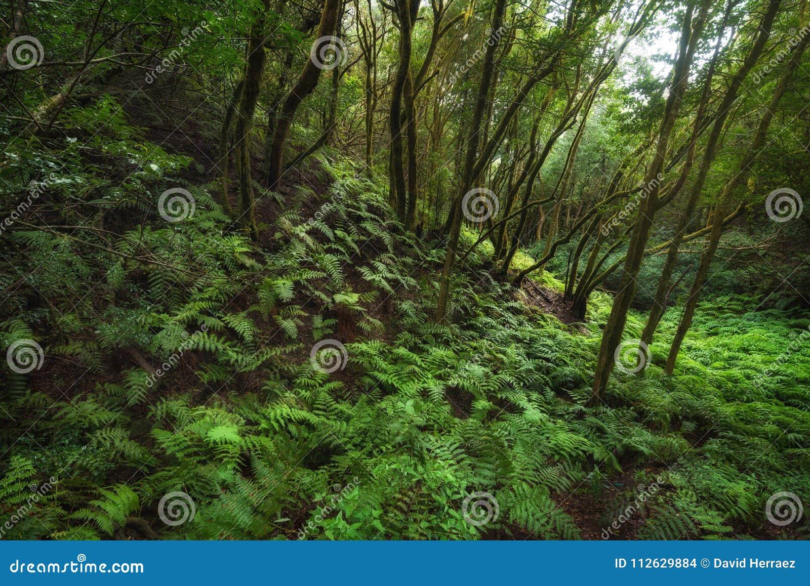 Μαγικό τροπικό δάσος Laurisilva στα βουνά Anaga, Tenerife, Κανάρια νησιά, Ισπανία