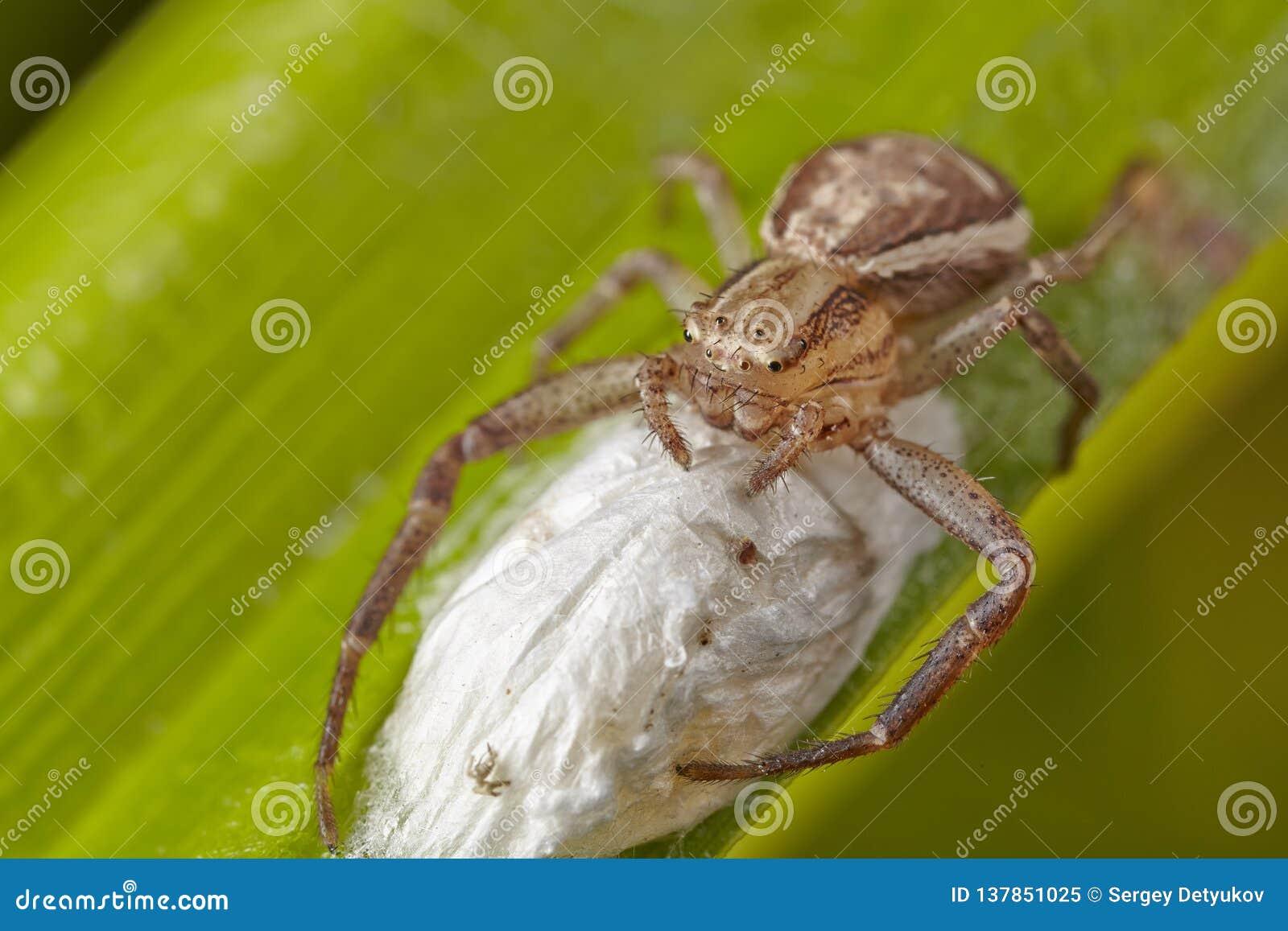 Μακροεντολή της ανοικτό καφέ αράχνης ενός καβουριού με τη σακούλα αυγών ootheca σε ένα πράσινο φύλλο Νέο ξανασχεδιασμένο απελευθέ