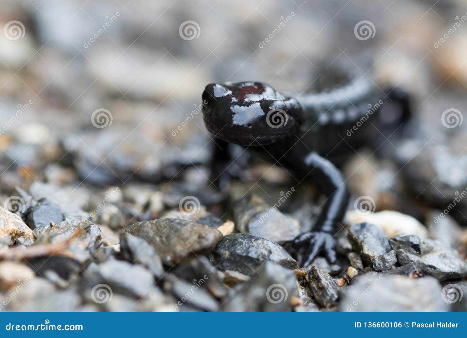 Μακροεντολή του μαύρου αλπικού atra salamandra salamander