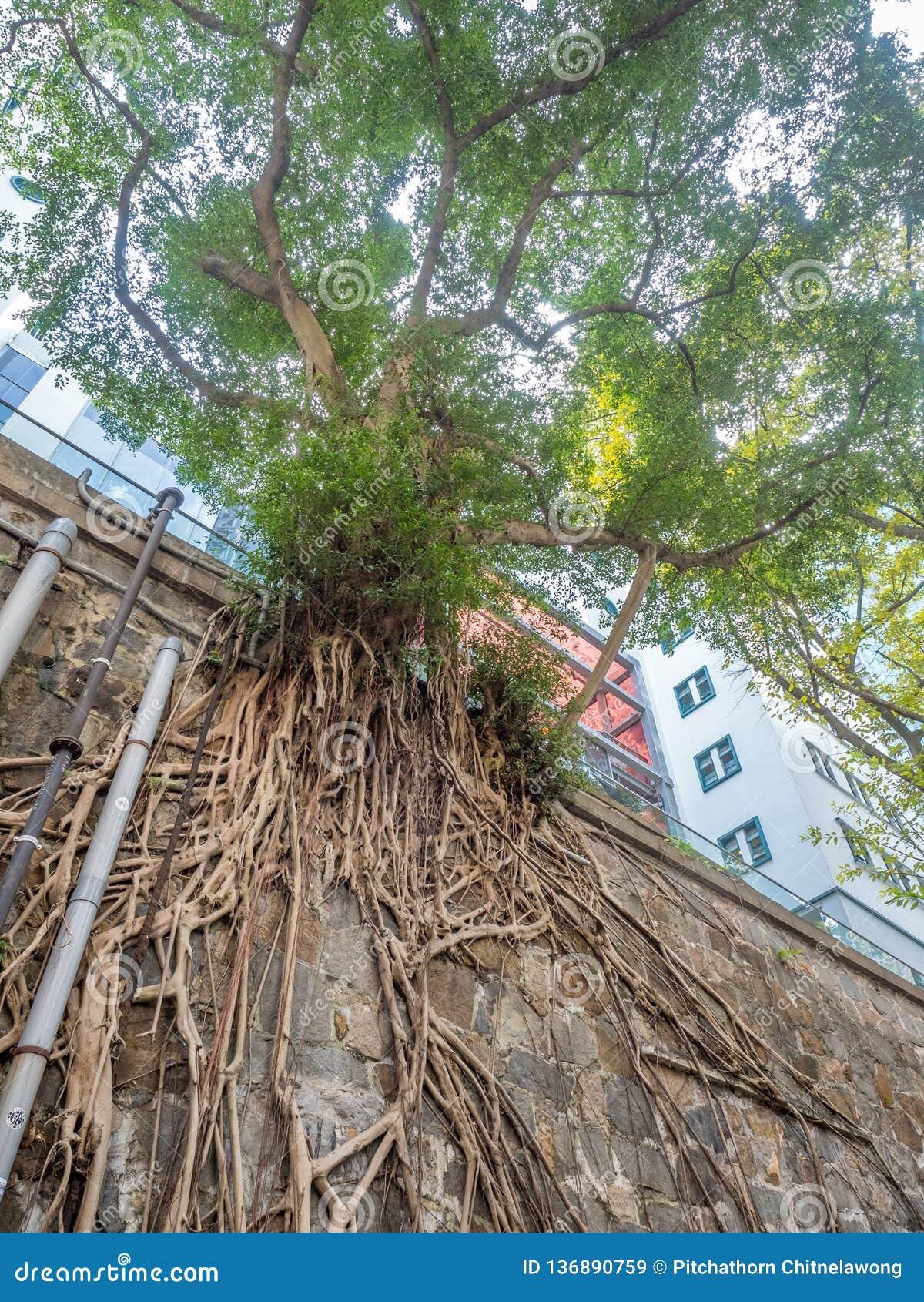 Μακροχρόνια ρίζα δέντρων στον τοίχο πετρών