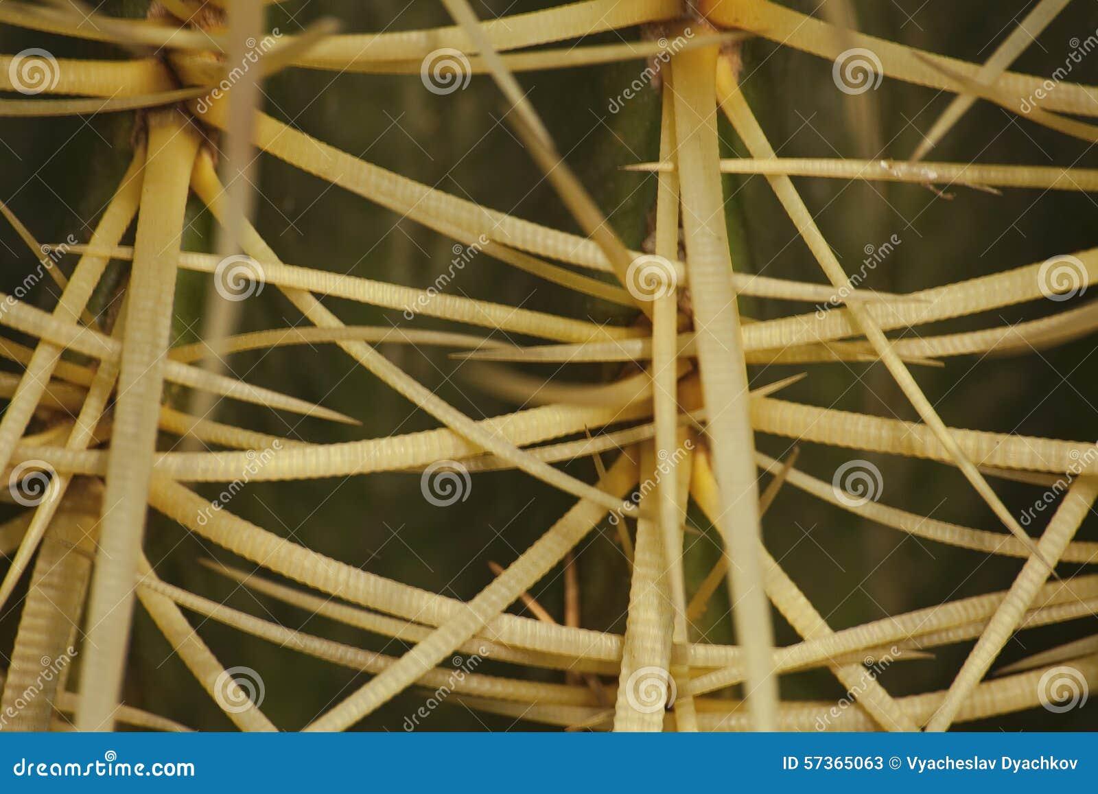Μακρο απόκομα Grusonii Hildm Echinocactus (χρυσός κάκτος βαρελιών, χρυσή σφαίρα, μαξιλάρι του mather--νόμου)