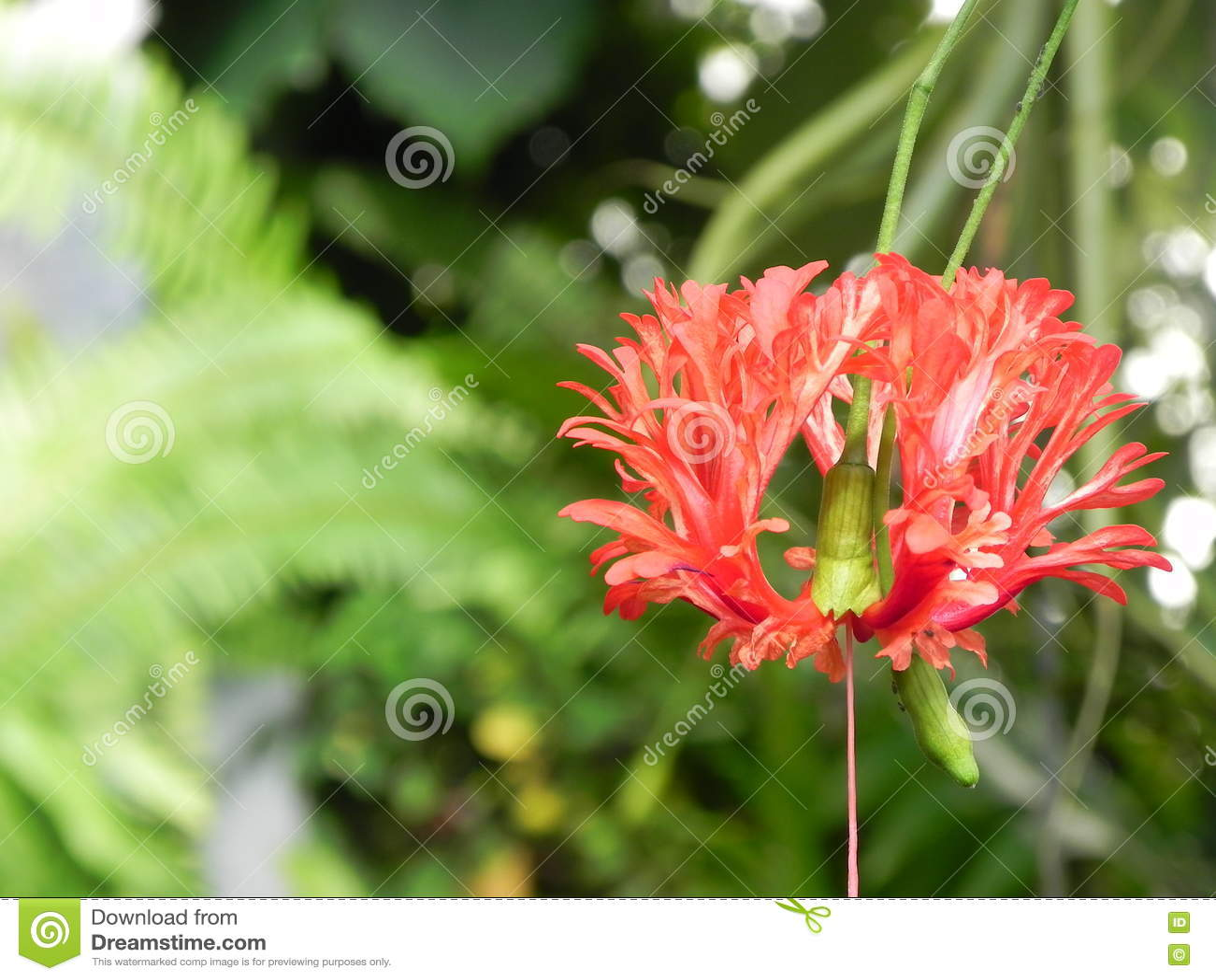Μακρο βλασταημένο κόκκινο λουλούδι