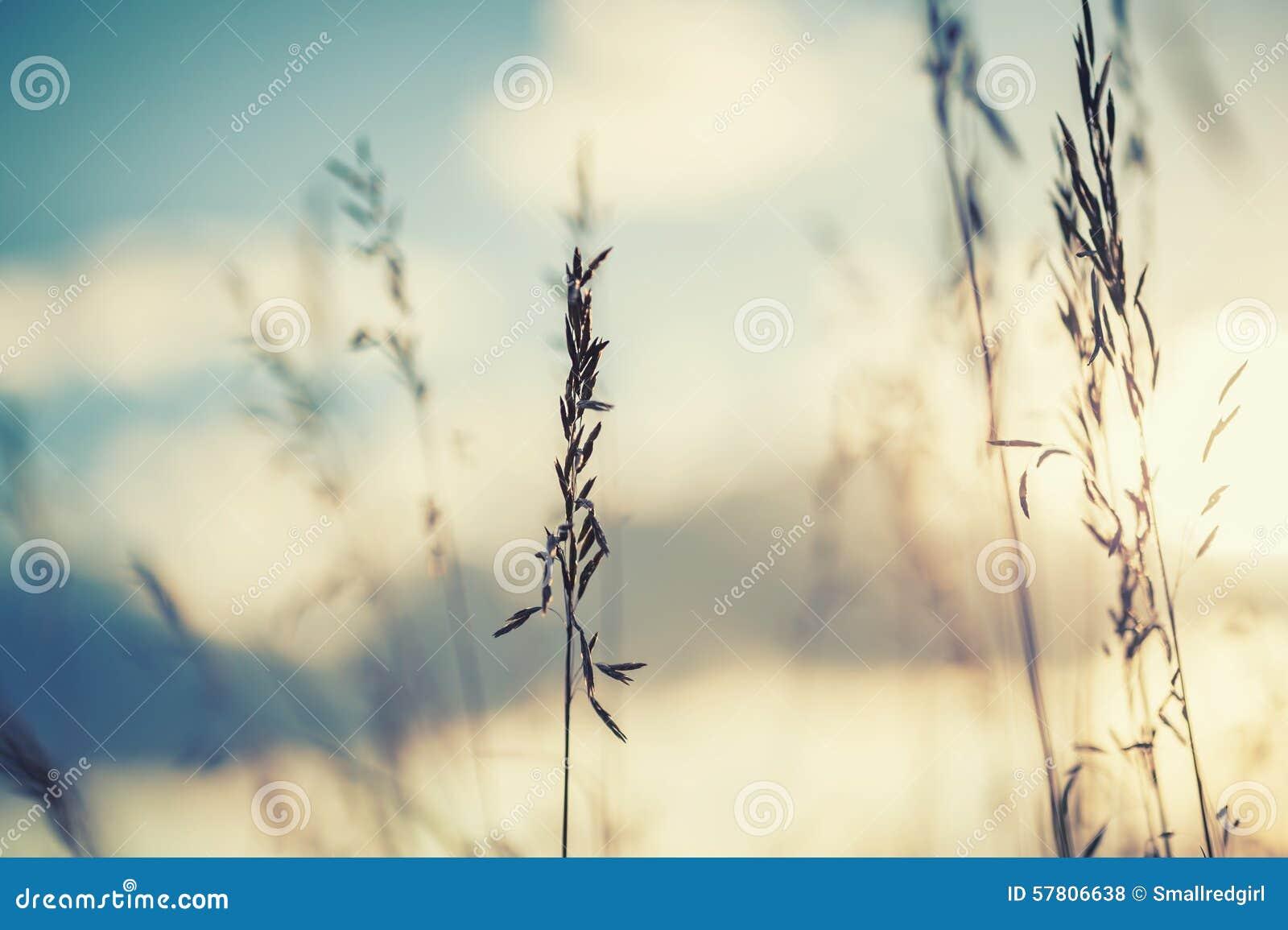 Μακρο εικόνα των άγριων χλοών στο ηλιοβασίλεμα