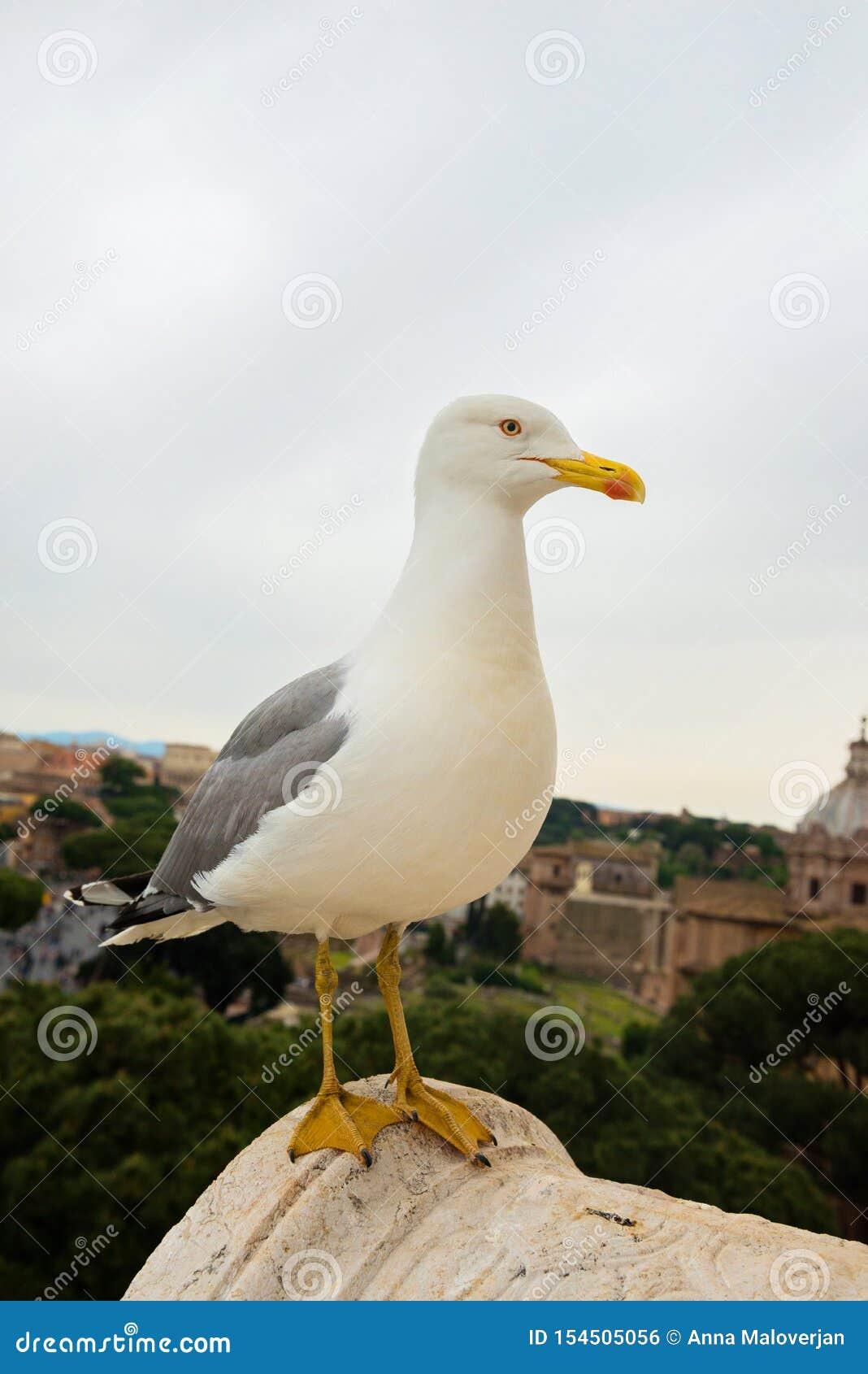Μακρο πορτρέτο seagull