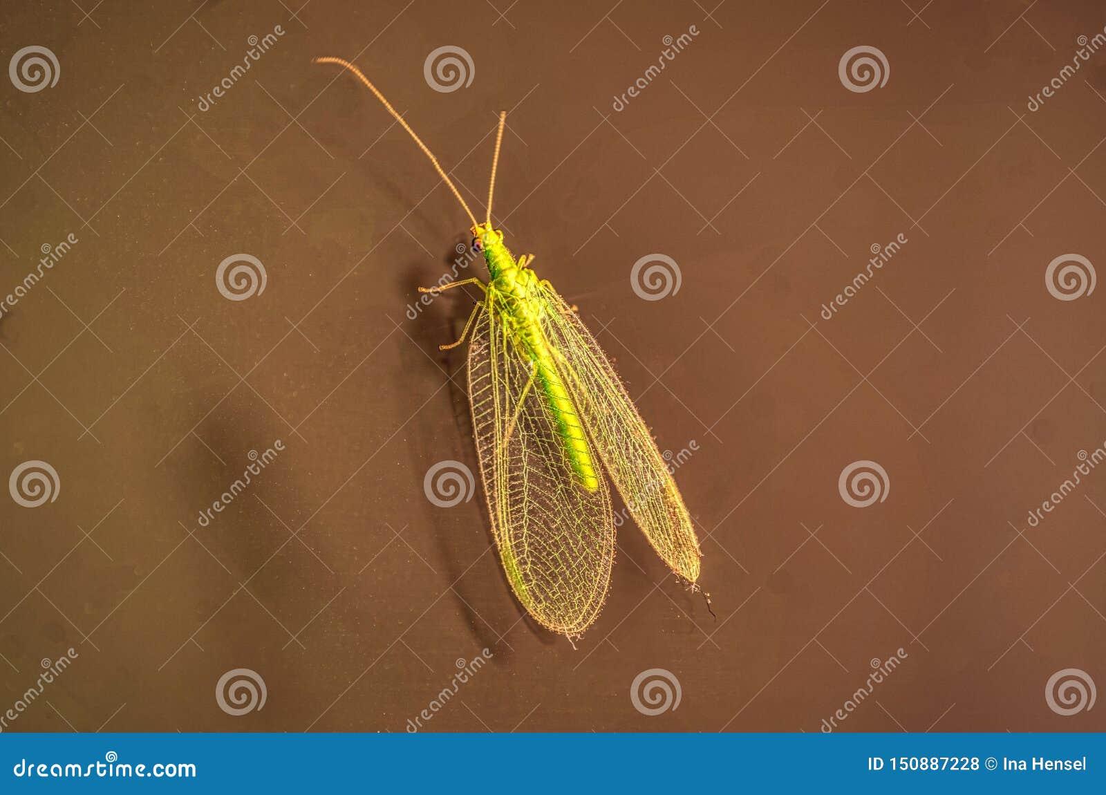 Μακρο πυροβολισμός των λεπτομερών πράσινων chrysopidae