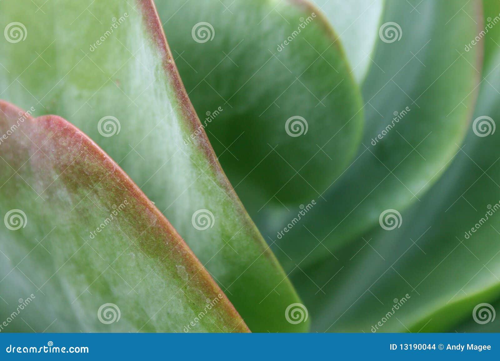 μακρο φυτό succulent