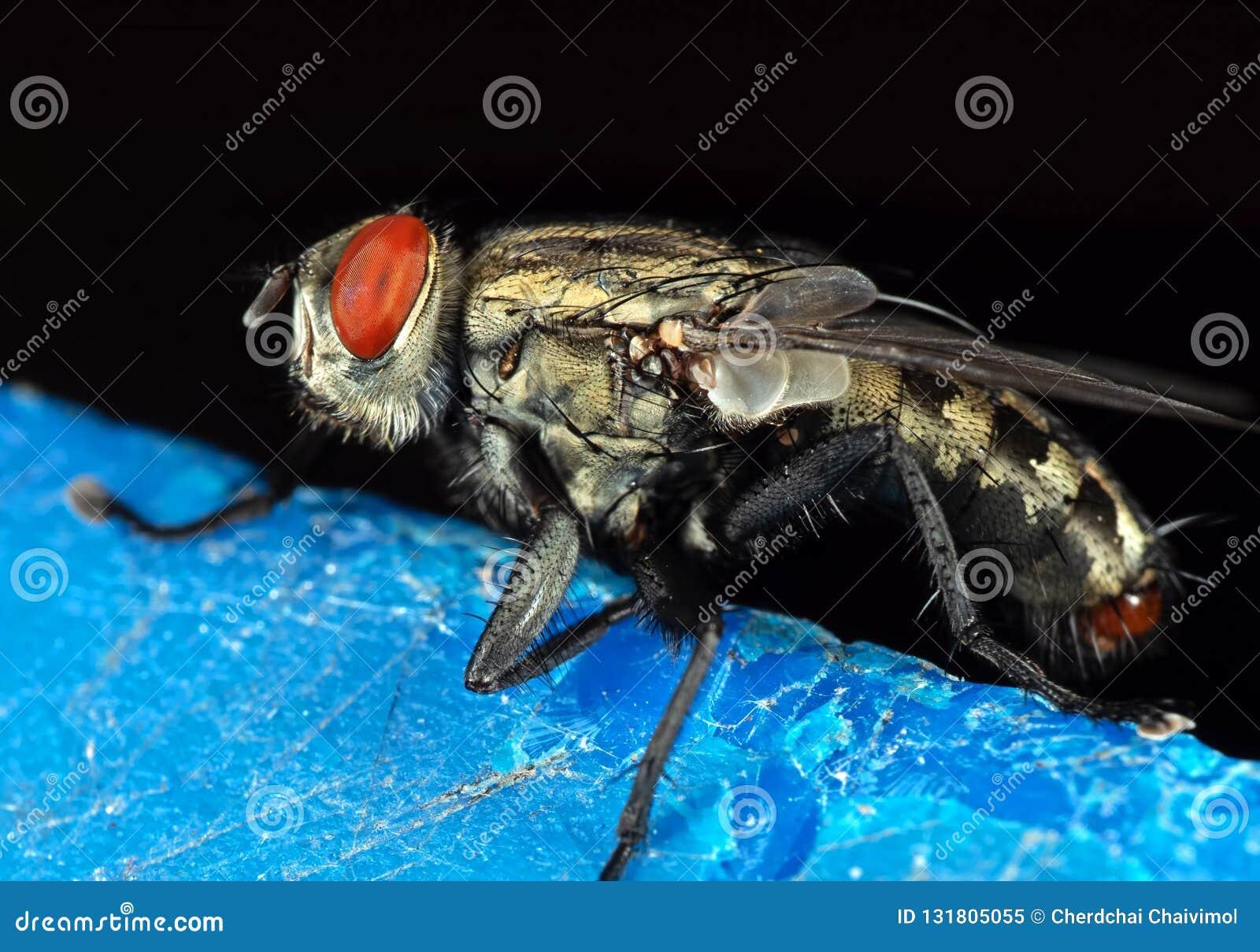 Μακρο φωτογραφία της μύγας σπιτιών που απομονώνεται στο υπόβαθρο