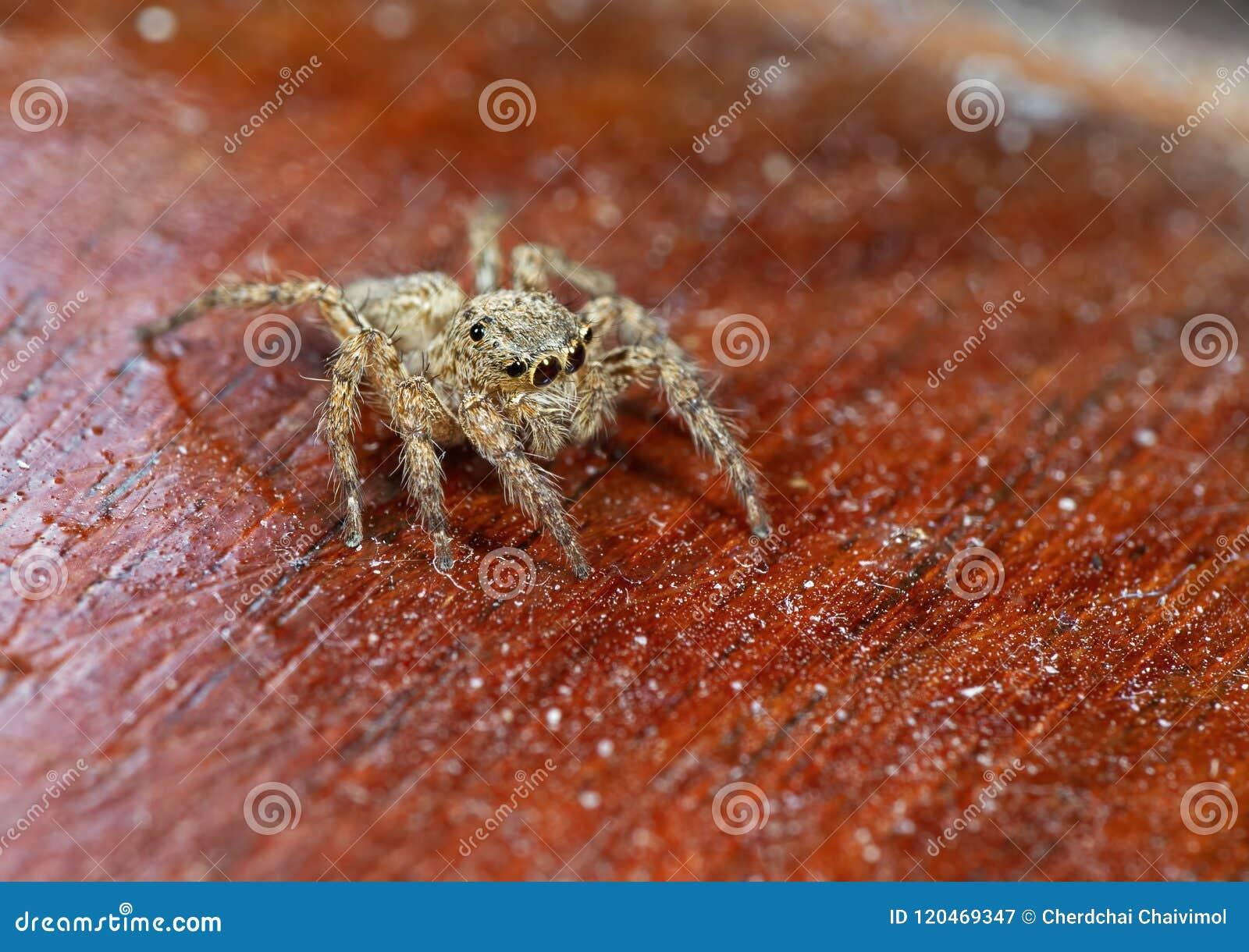 Μακρο φωτογραφία του άλματος της αράχνης που απομονώνεται στο ξύλινο υπόβαθρο