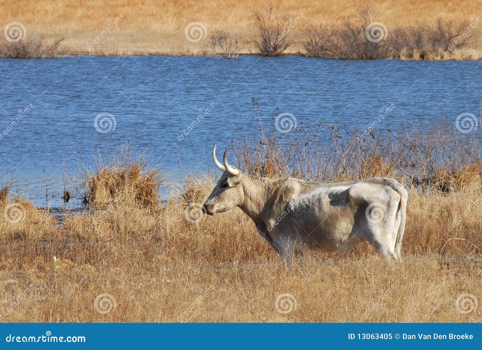 μακρύς ταύρος κέρατων