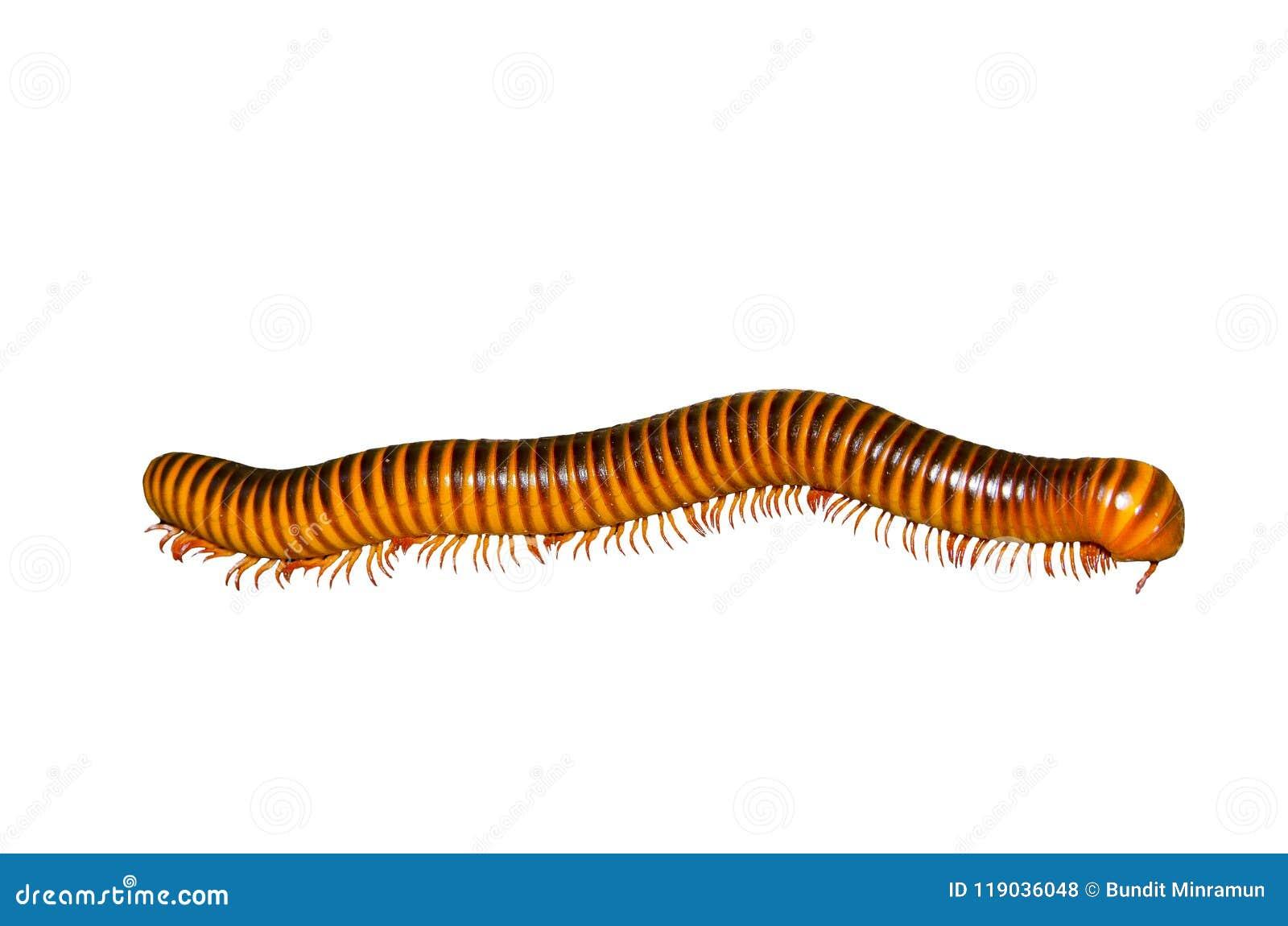 Μακρύ μεγάλο καφετί millipede που απομονώνεται στο άσπρο υπόβαθρο