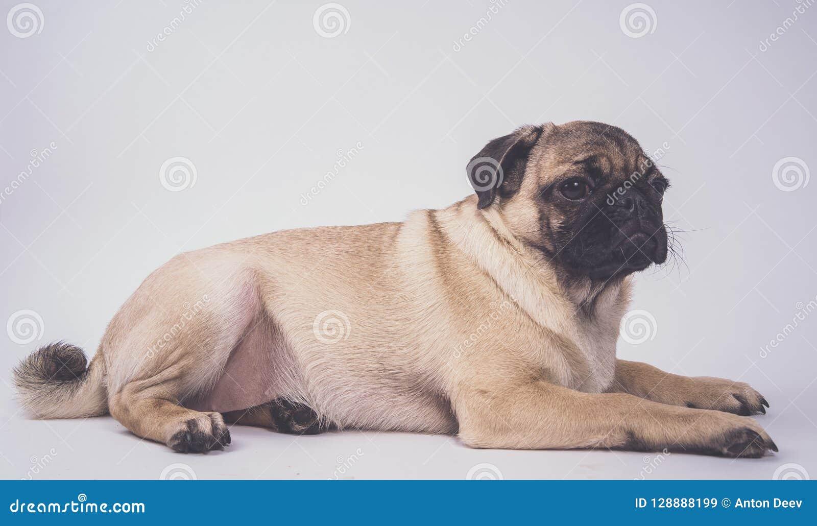 Μαλαγμένος πηλός, σκυλί στο άσπρο υπόβαθρο Χαριτωμένο φιλικό παχύ chubby κουτάβι μαλαγμένου πηλού Κατοικίδια ζώα, εραστές σκυλιών