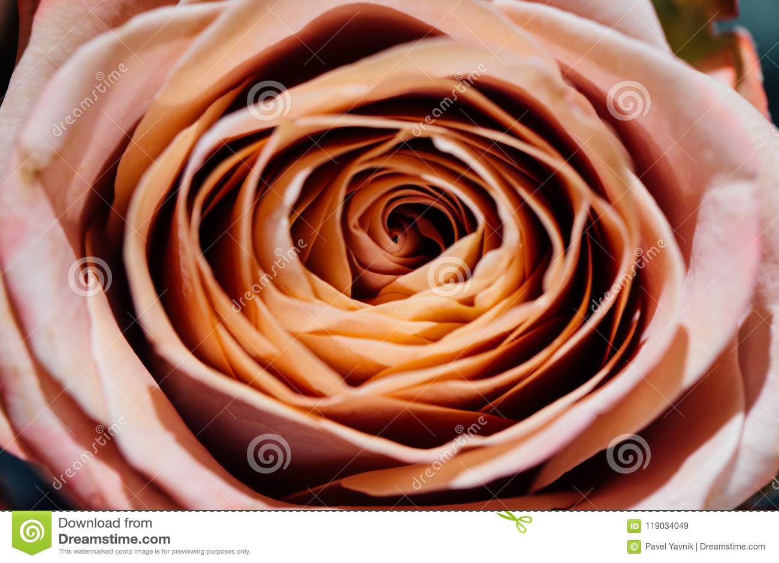 Μαλακά πλήρη φγμένα μπεζ τριαντάφυλλα ως ουδέτερο υπόβαθρο Εκλεκτική εστίαση floral πρότυπο καρδιών λουλουδιών απελευθέρωσης πετα