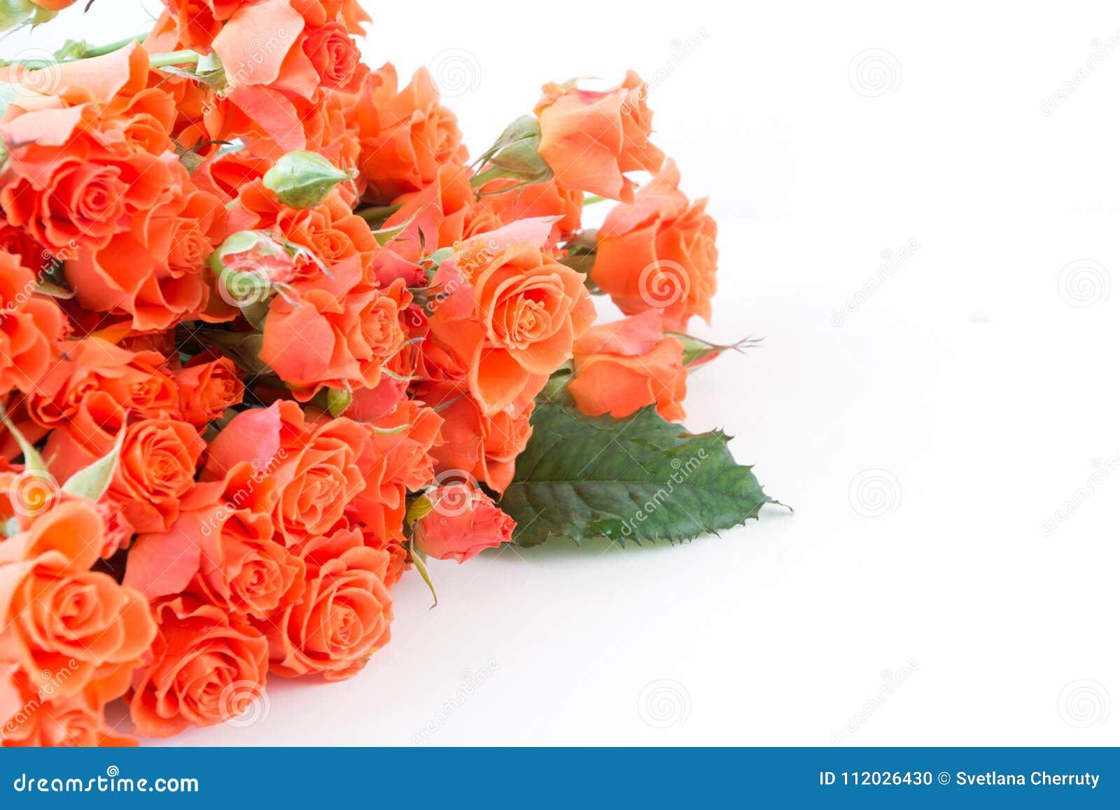 Μαλακά πλήρη φγμένα πορτοκαλιά τριαντάφυλλα θάμνων στο λευκό Εκλεκτική εστίαση διάστημα αντιγράφων απομονωμένος