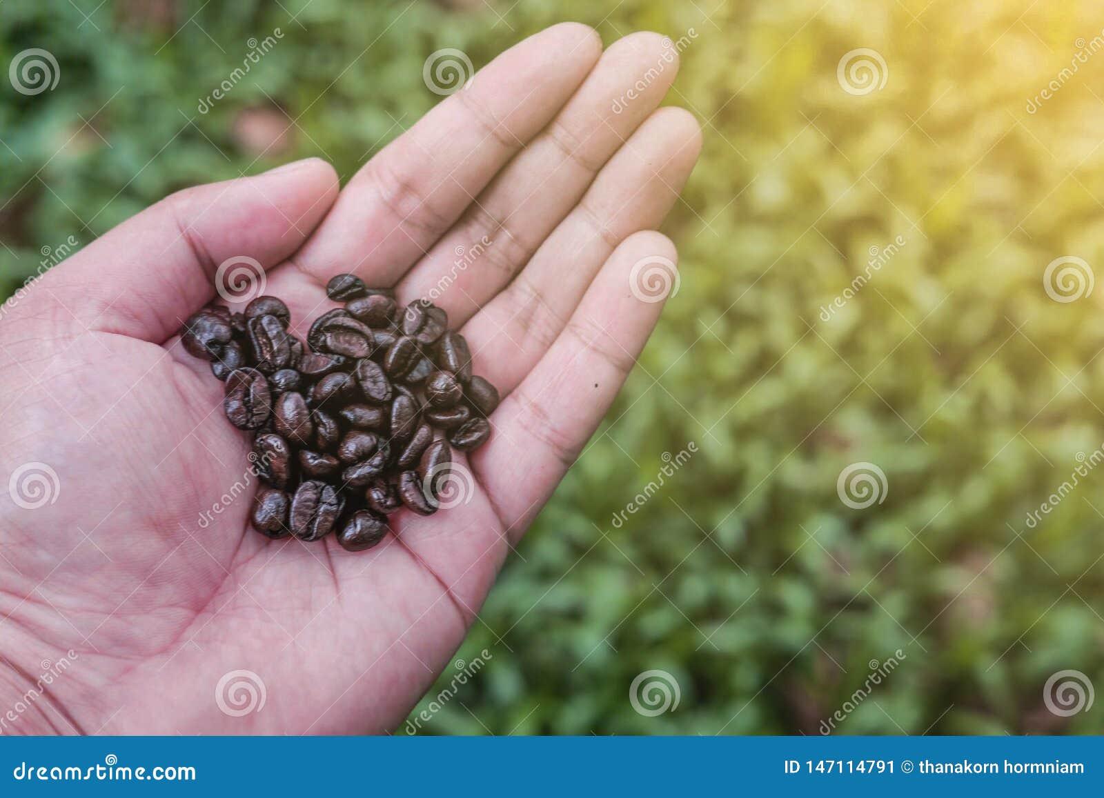 Μαλακή εστίαση, φασόλια καφέ σε διαθεσιμότητα