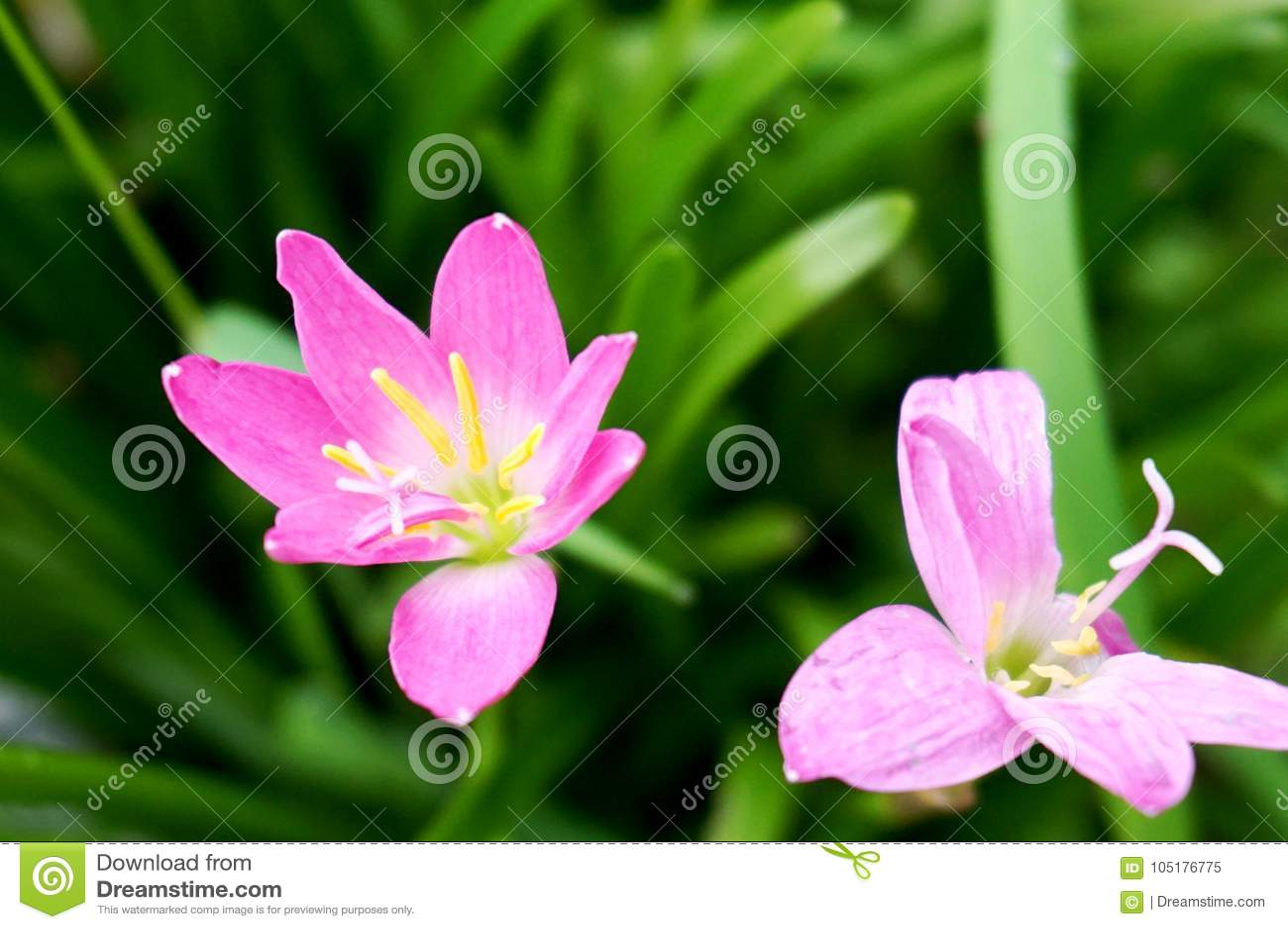 Μαλακό ιώδες λουλούδι με το πράσινο υπόβαθρο χλόης