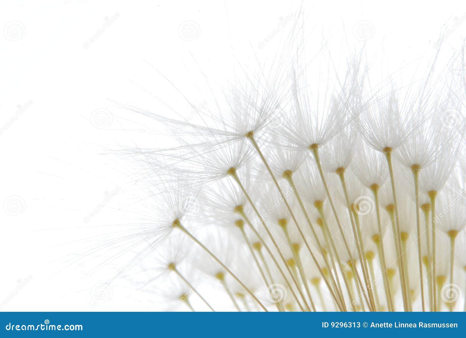 μαλακό λευκό σπόρων πικραλίδων