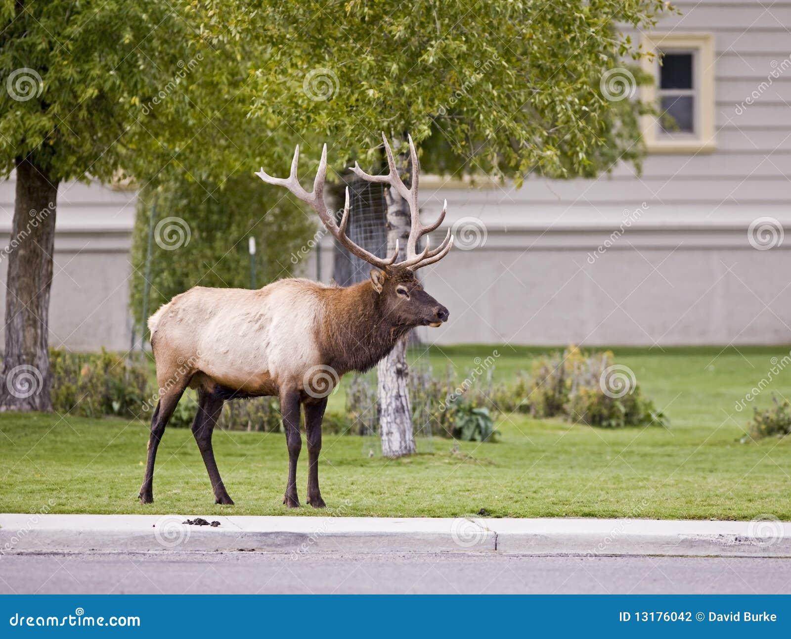 μαμμούθ yellowstone πάρκων αλκών ταύρ&omega