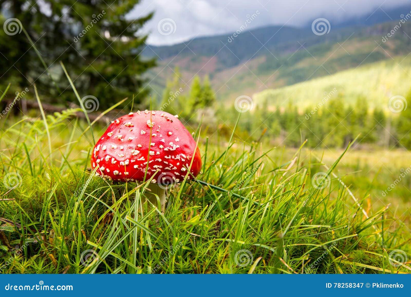 Μανιτάρι αγαρικών μυγών στο λιβάδι στα βουνά