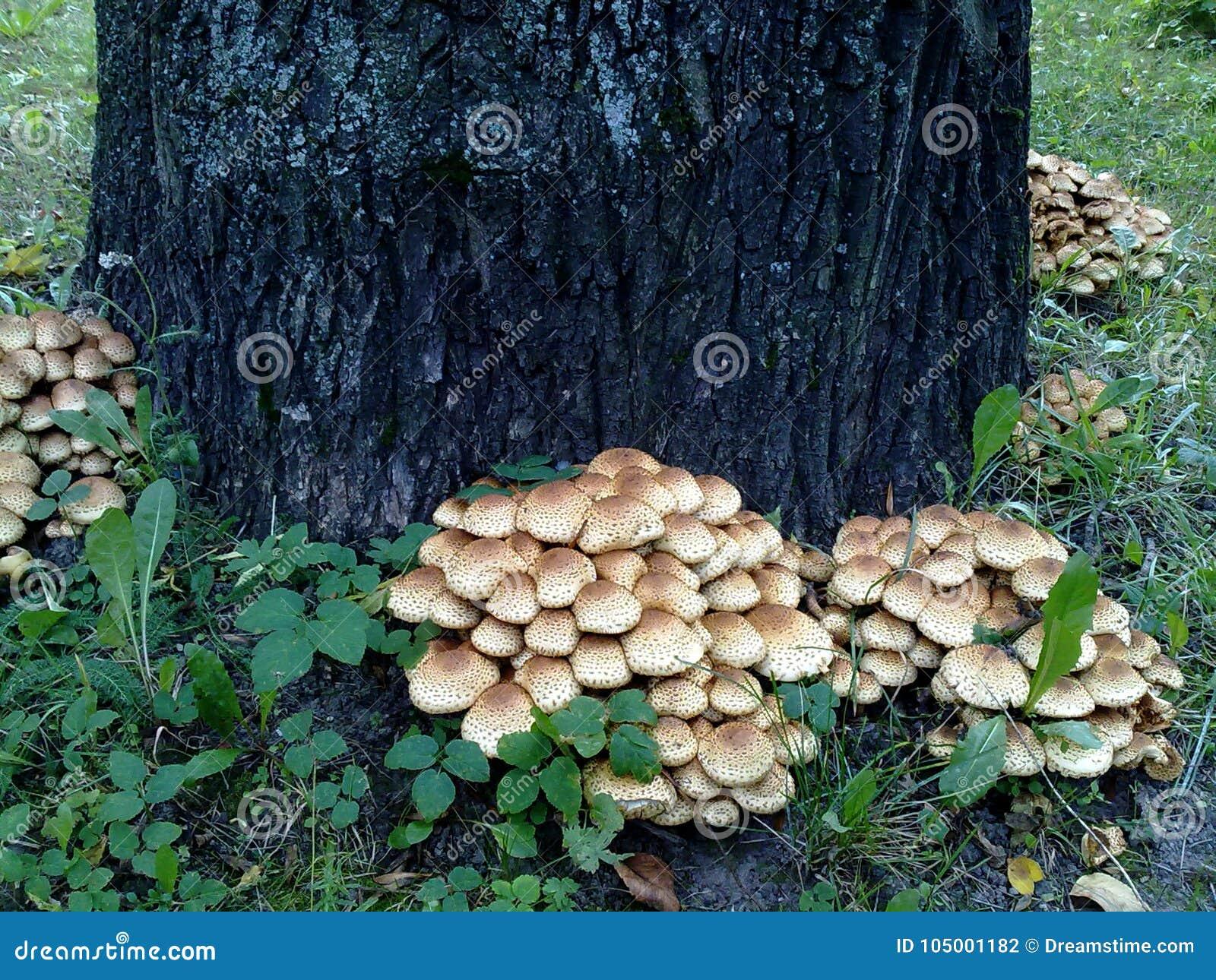 Μανιταριών χρονικού φθινοπώρου δασικό μυκηλίων φρέσκο δέντρο κορμών μανιταριών όμορφο