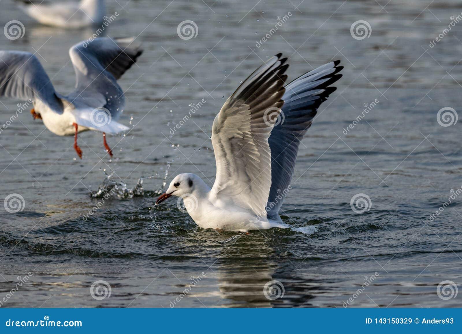 Μαυροκέφαλος γλάρος στο χειμερινό φτέρωμα που προσγειώνεται στο νερό
