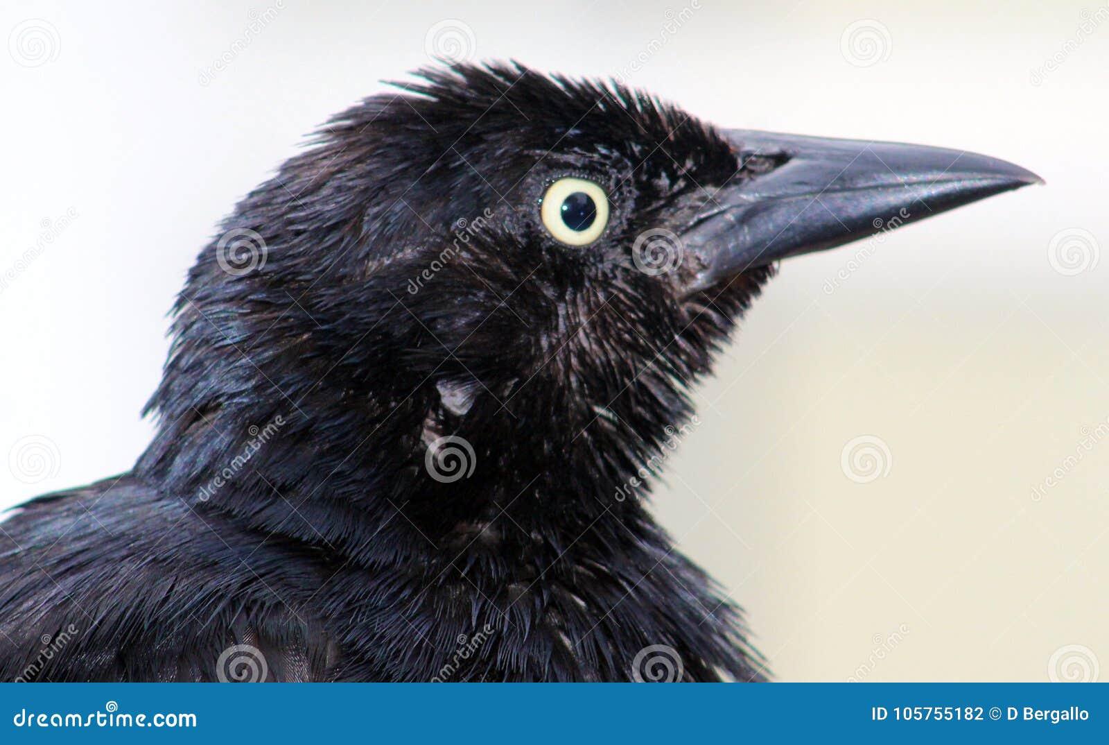 Δωρεάν μαύρο πουλί βίντεο