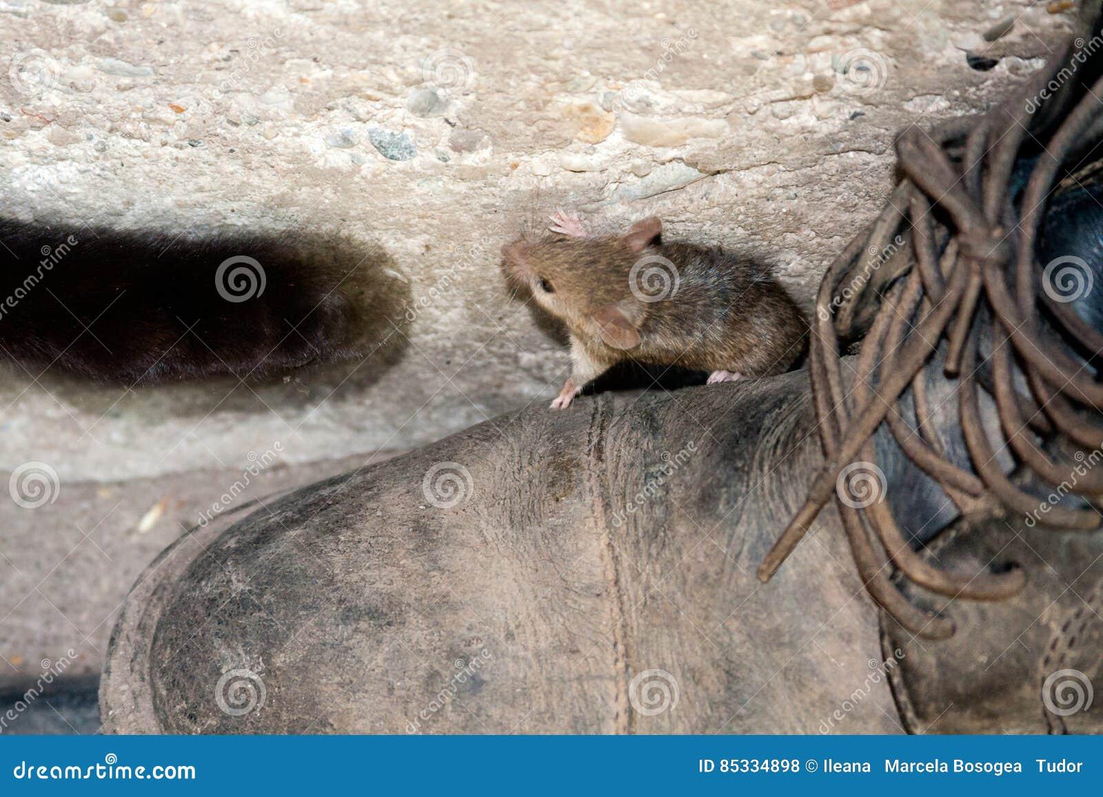 Μαύρα πόδι και ποντίκι γατών