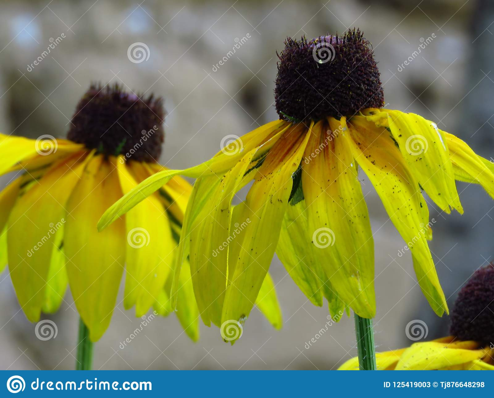 μαύρα eyed susans Κίτρινα λουλούδια θερινών κήπων