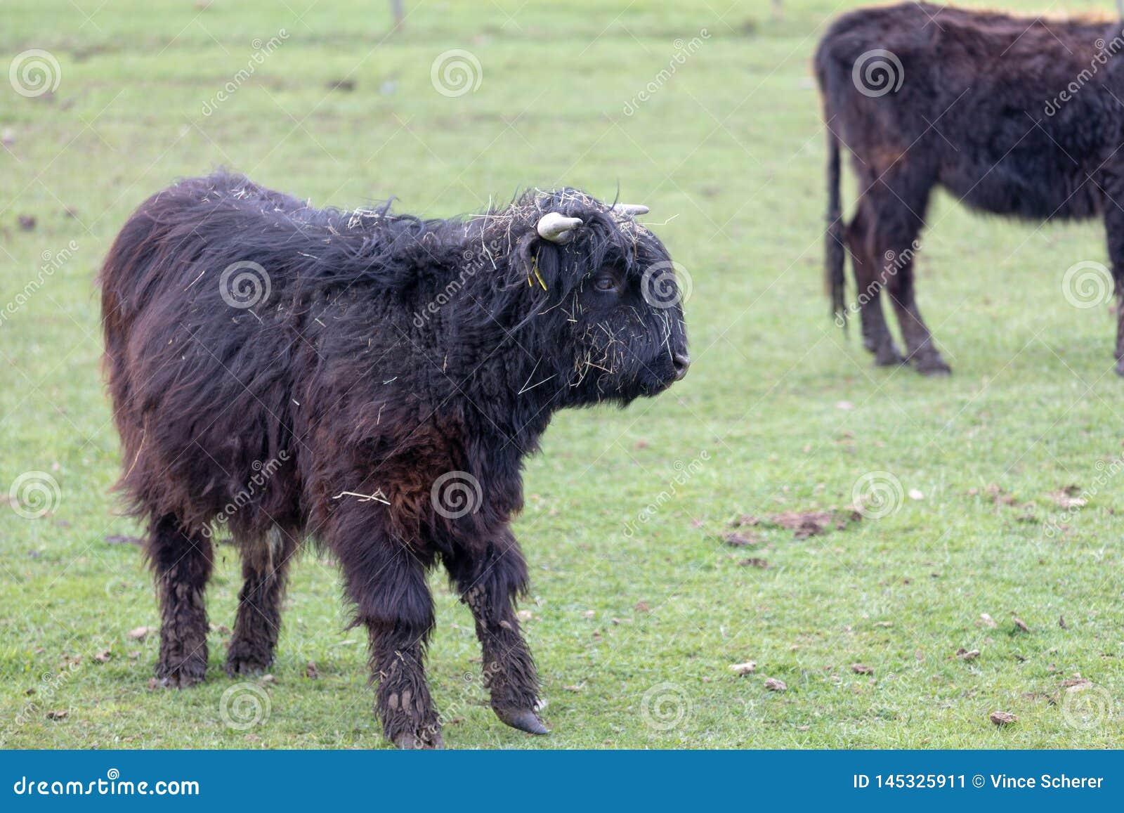 Μαύρη αγελάδα ορεινών περιοχών Uvenile που στέκεται στο λιβάδι, πορτρέτο