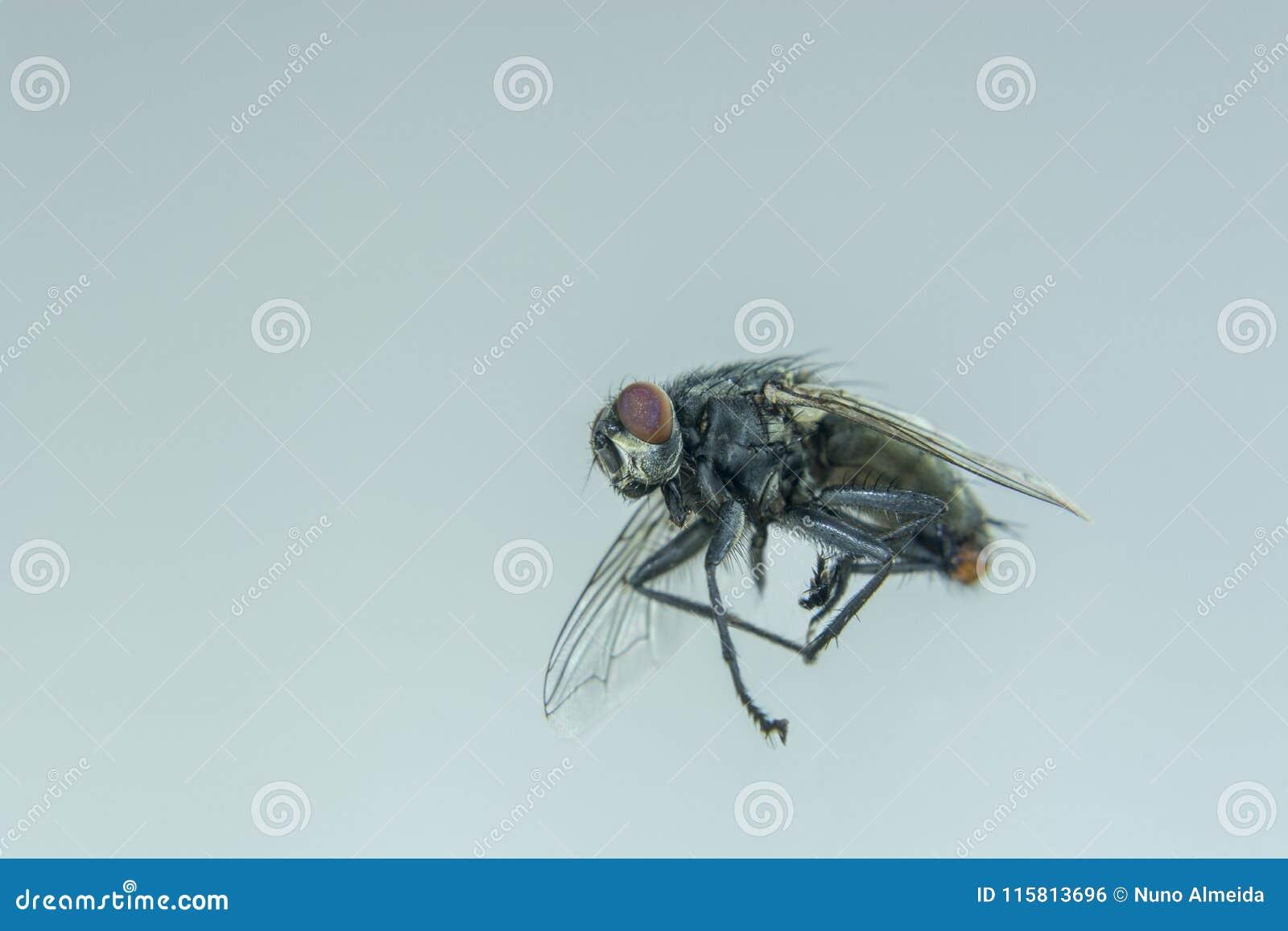 Μαύρη μύγα που πετά στο σπίτι
