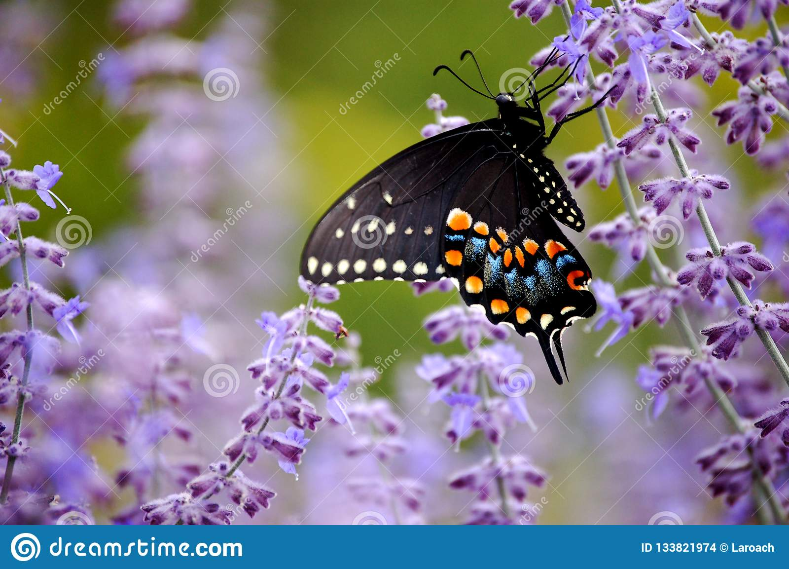 Μαύρη πεταλούδα Swallowtail με τα πορφυρά λουλούδια