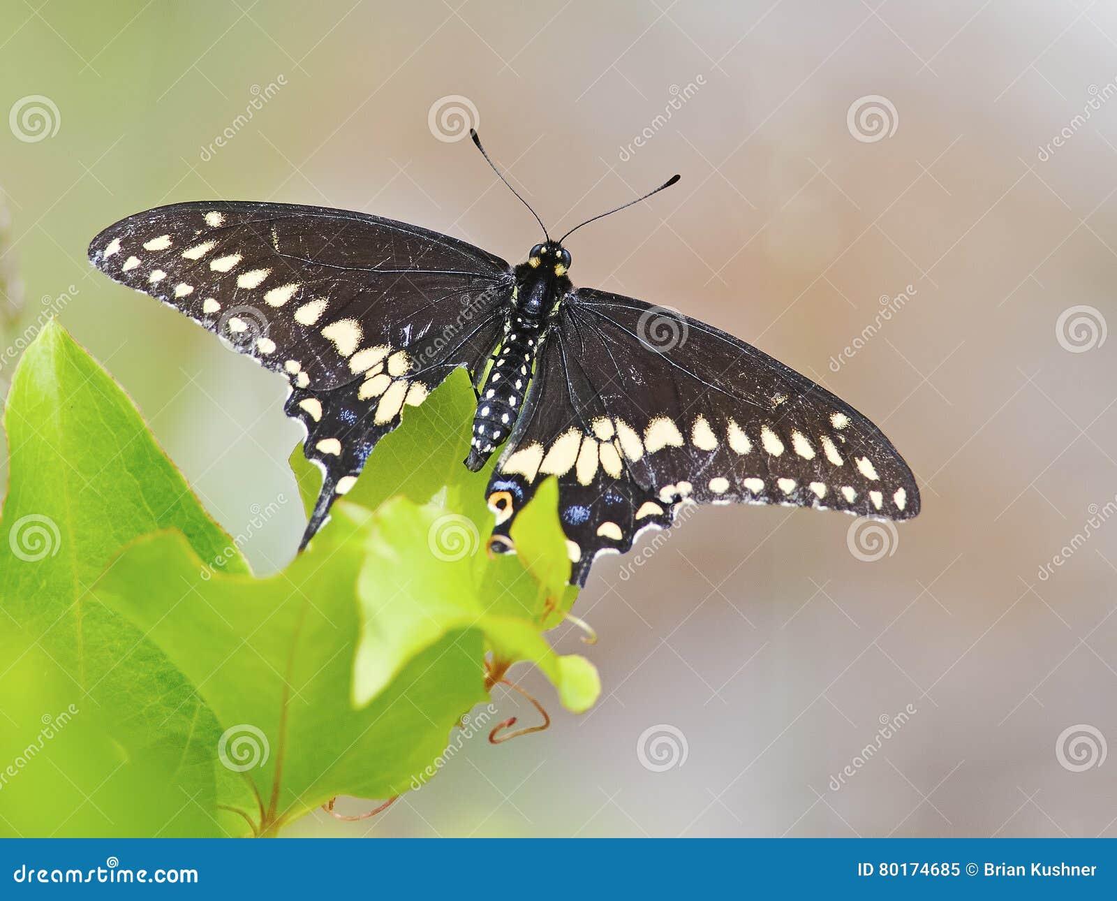 μαύρη πεταλούδα swallowtail