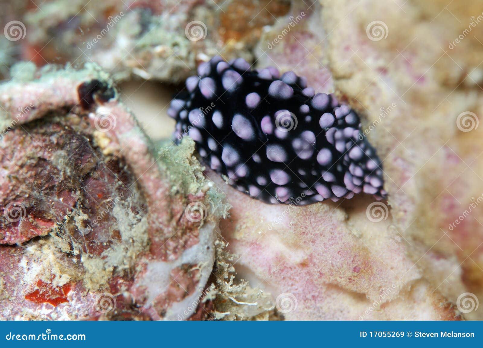 μαύρη πορφύρα nudibranch που επισημ&