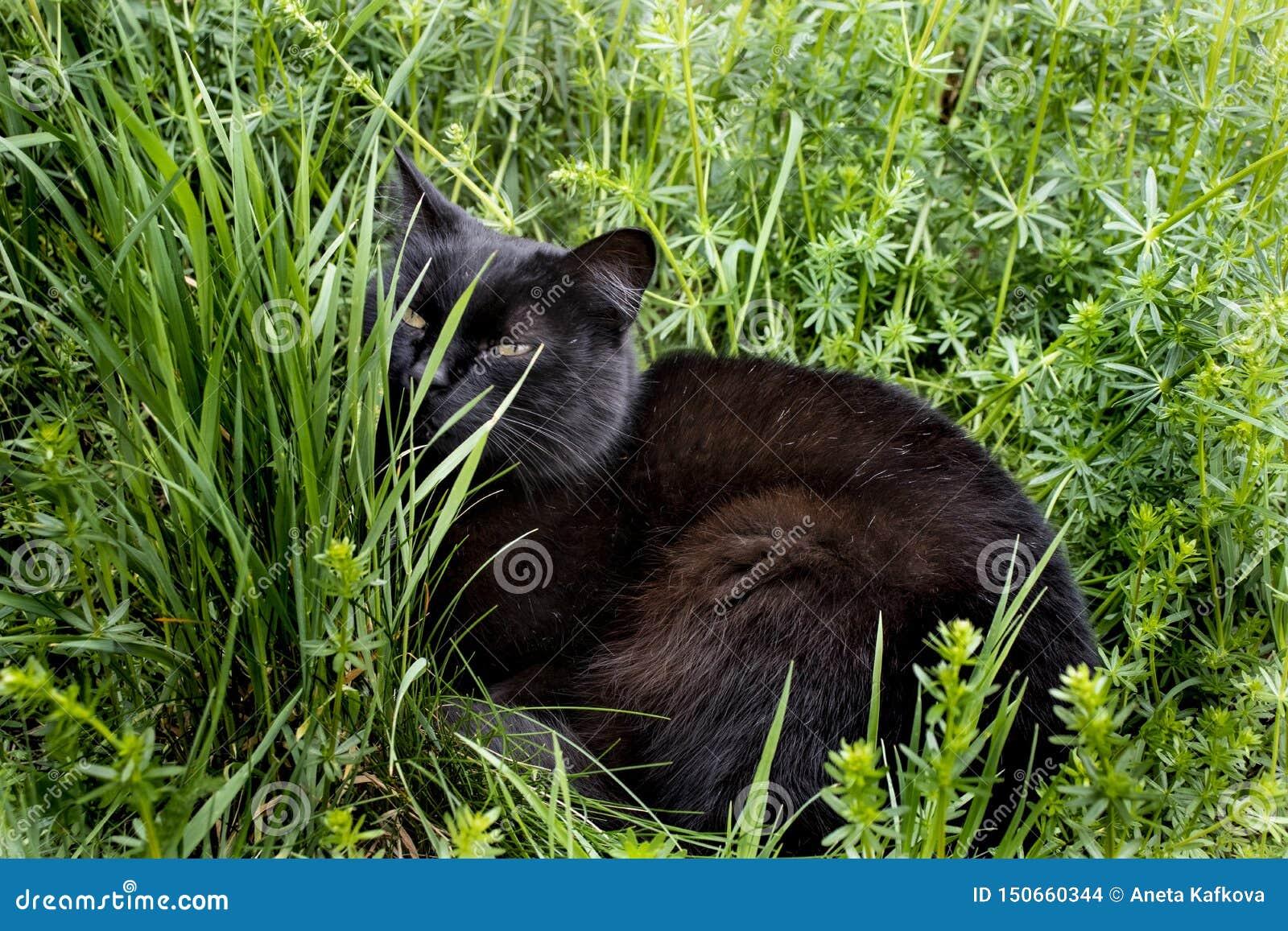 Μαύρη χαλάρωση γατών στη χλόη