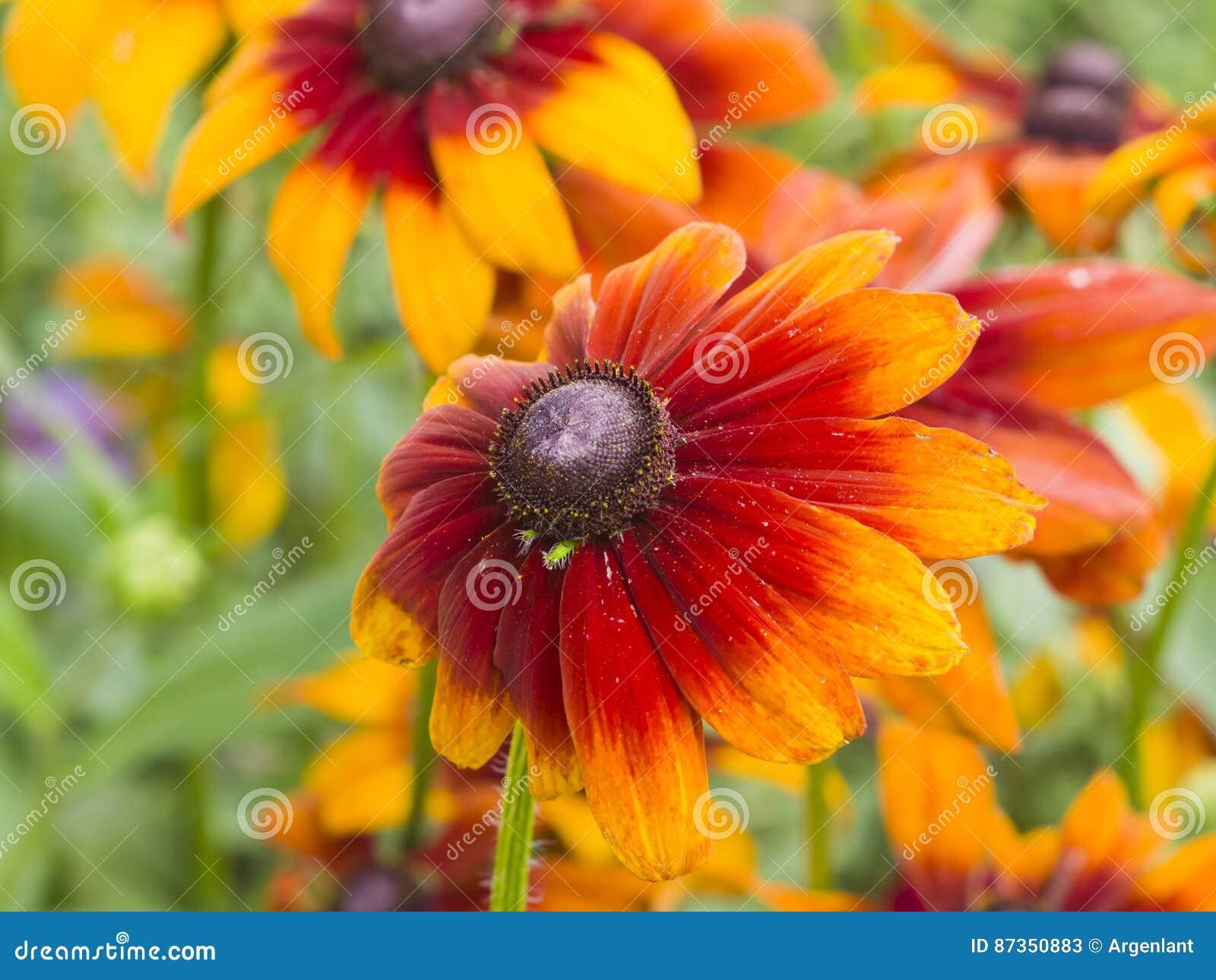 Μαύρη Eyed, κόκκινης και κίτρινης λουλουδιών κινηματογράφηση σε πρώτο πλάνο της Susan, hirta Rudbeckia, εκλεκτική εστίαση, ρηχό D