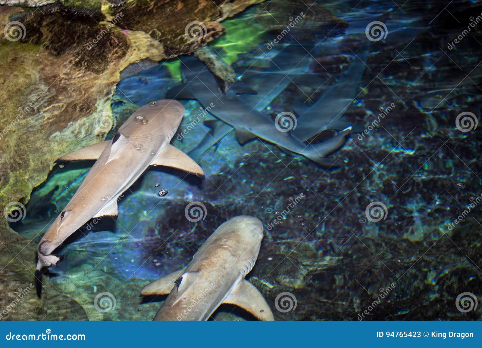 Μαύροι καρχαρίες ακρών
