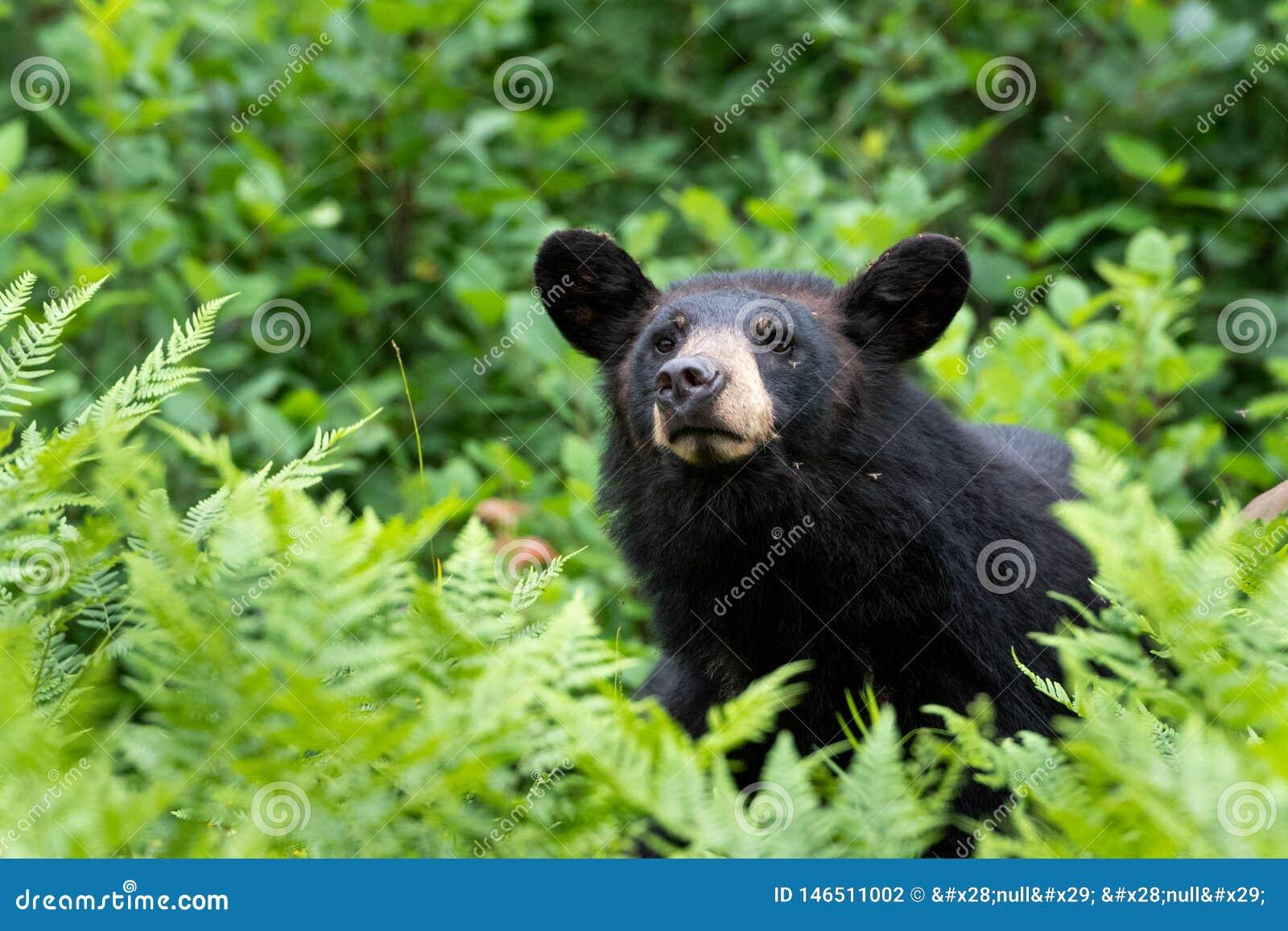 Μαύρος αντέξτε στη φύση Ursus αμερικανικό