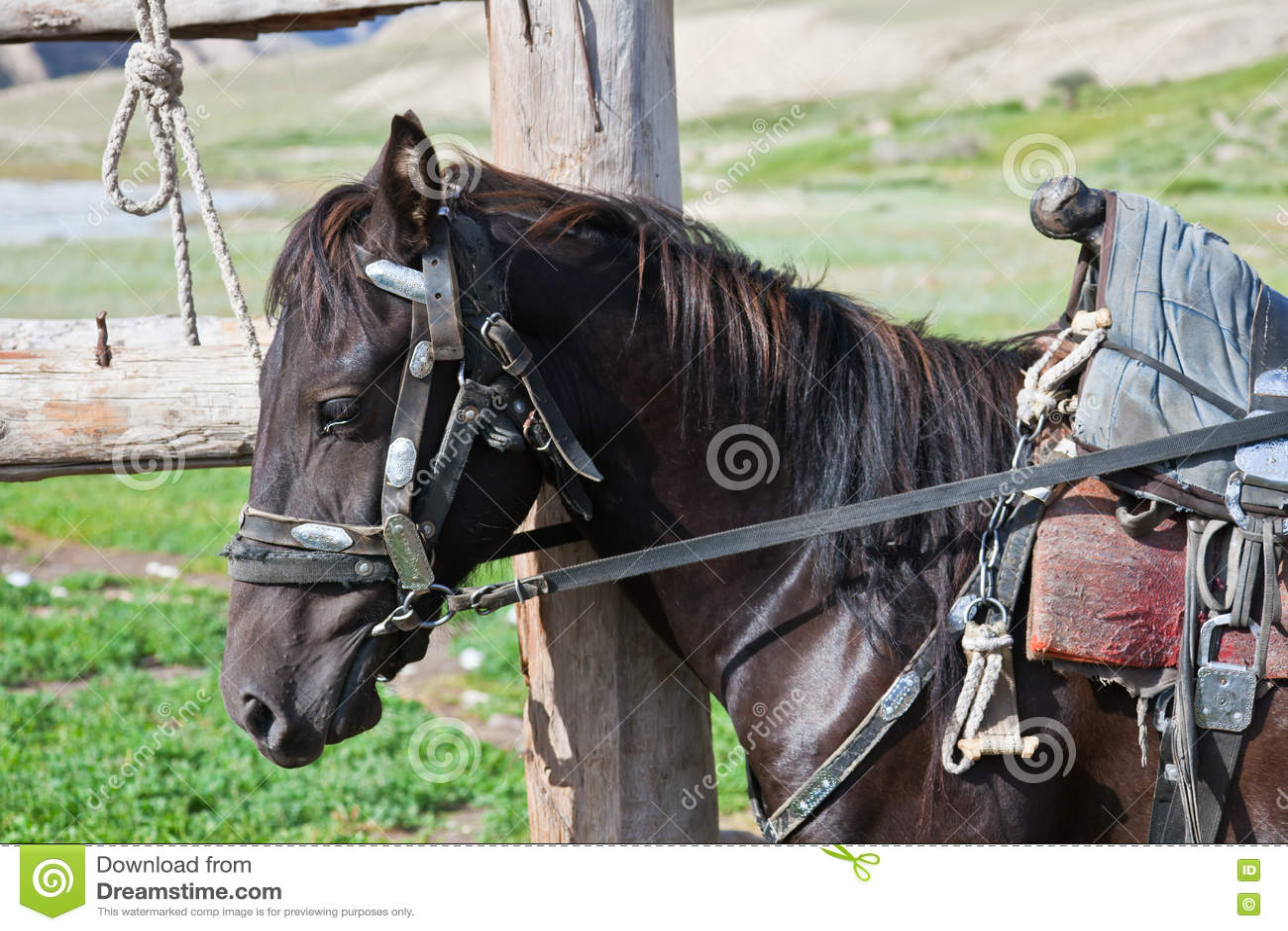 Μαύρος επιβήτορας του Κιργισίου στο λουρί με μια σέλα στο hitching π