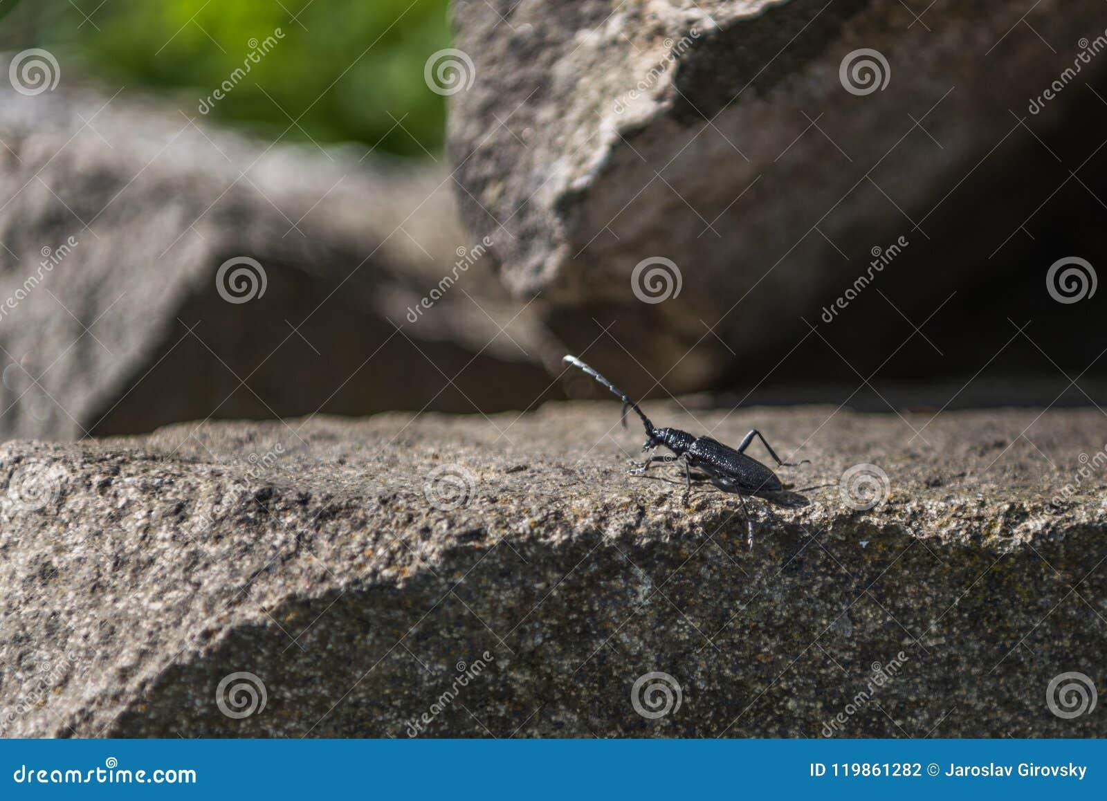 Μαύρος μεγάλος κάνθαρος Αιγοκέρου