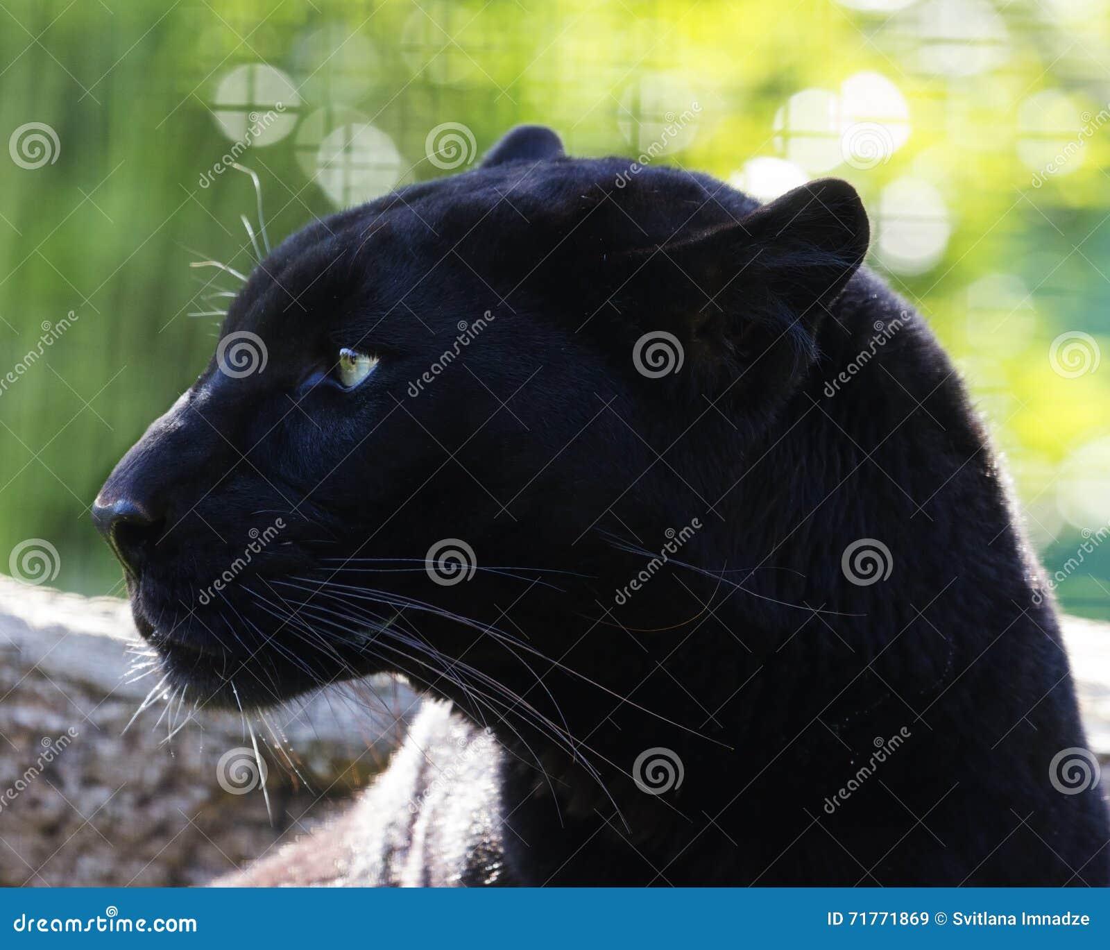 μαύρος πάνθηρας