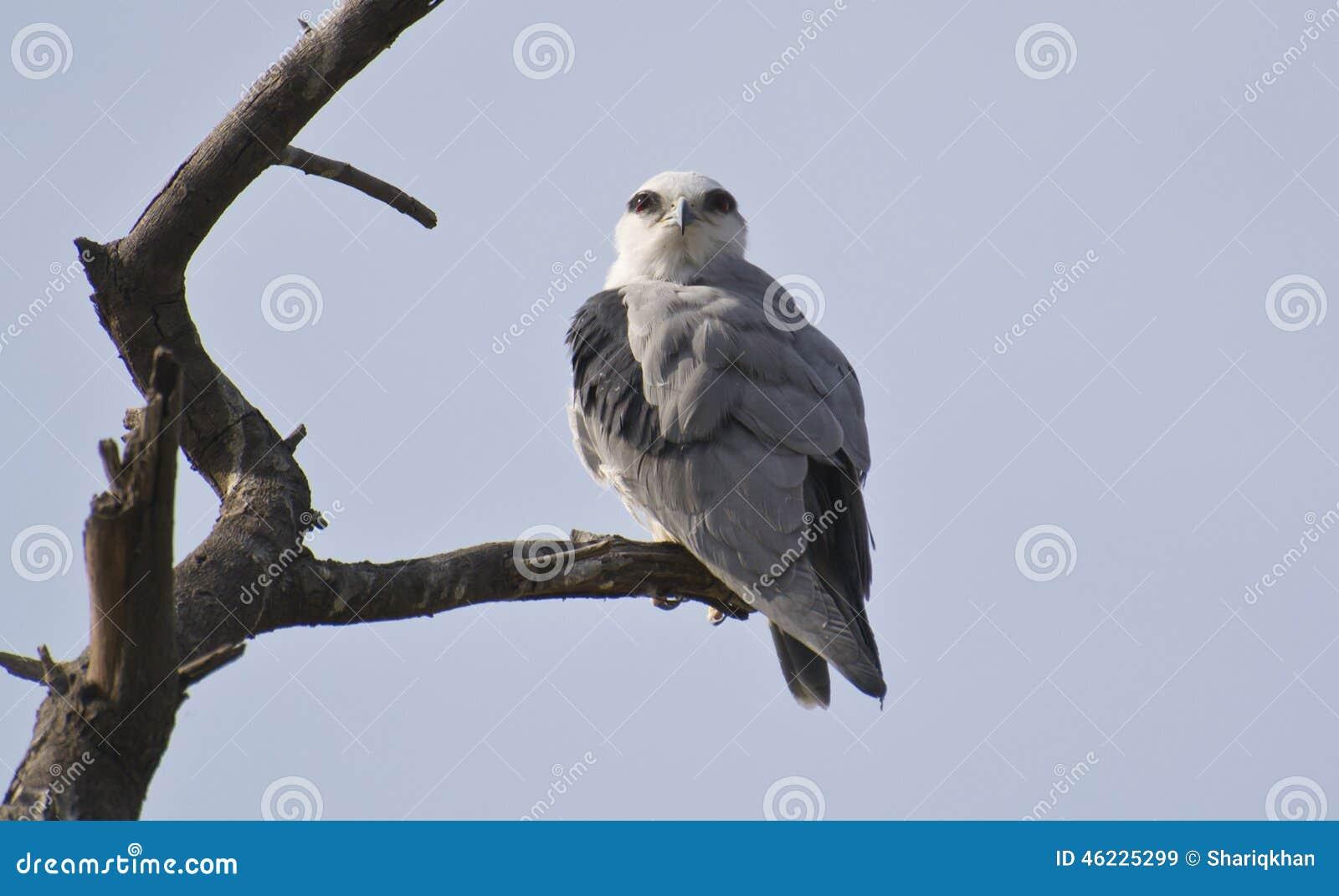 Μαύρος φτερωτός ικτίνος στο δέντρο