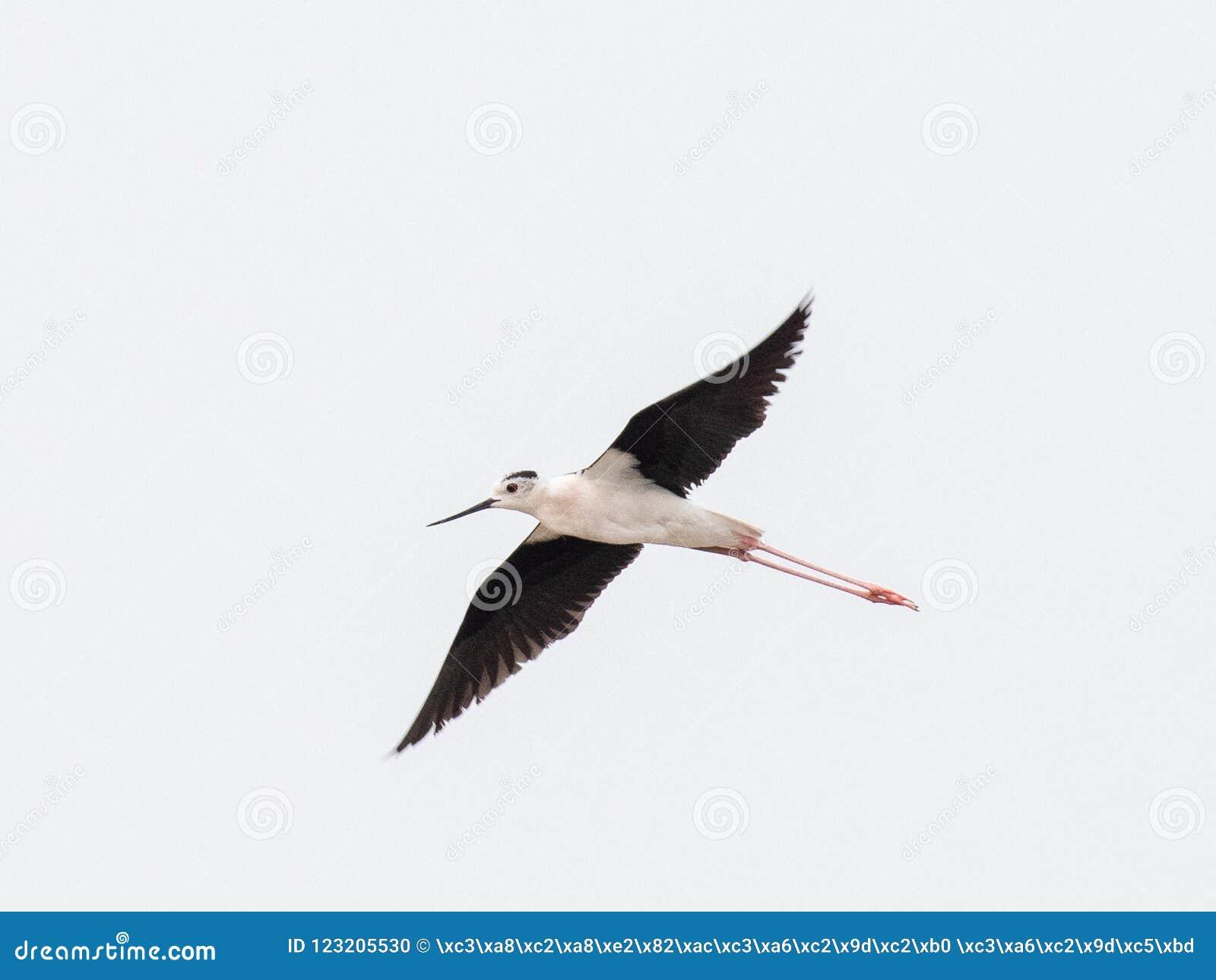 Μαύρος φτερωτός μακρύς - μπεκατσίνι Himantopus Himantopus ποδιών