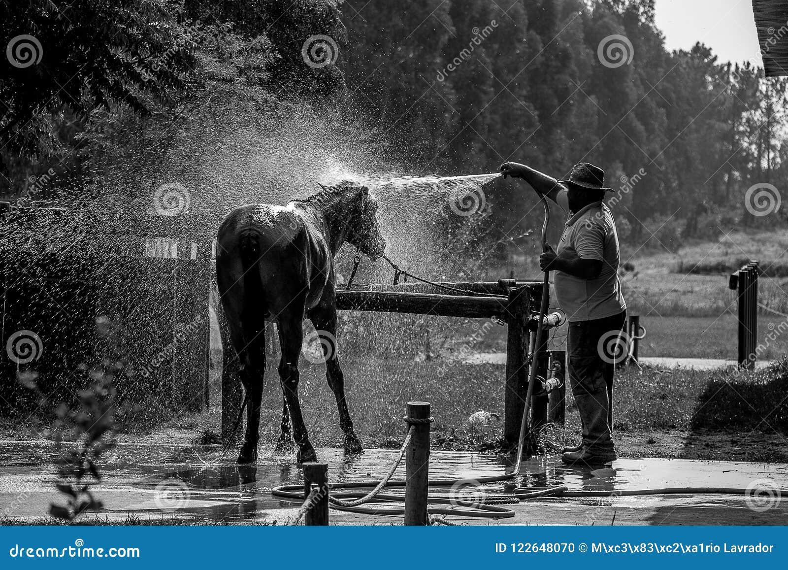 Μαύρο άλογο που παίρνει ένα λουτρό σε ένα αγρόκτημα