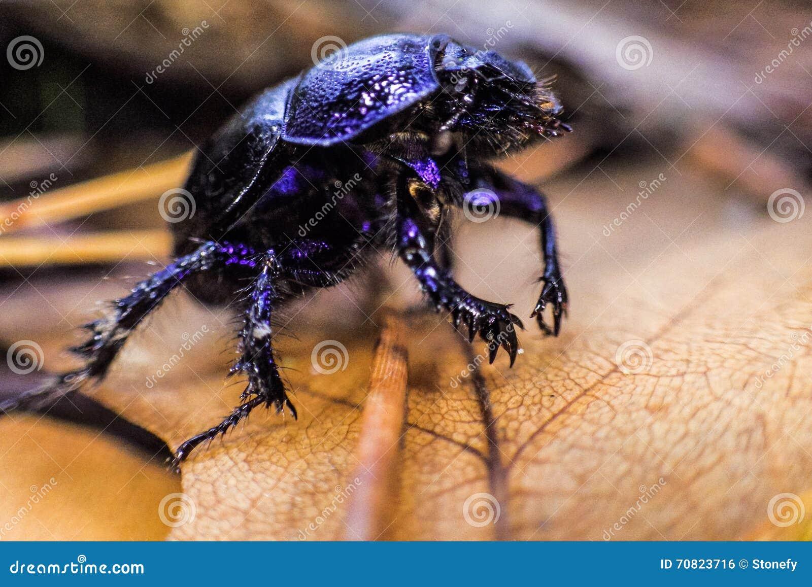Μαύρο έντομο περπατήματος