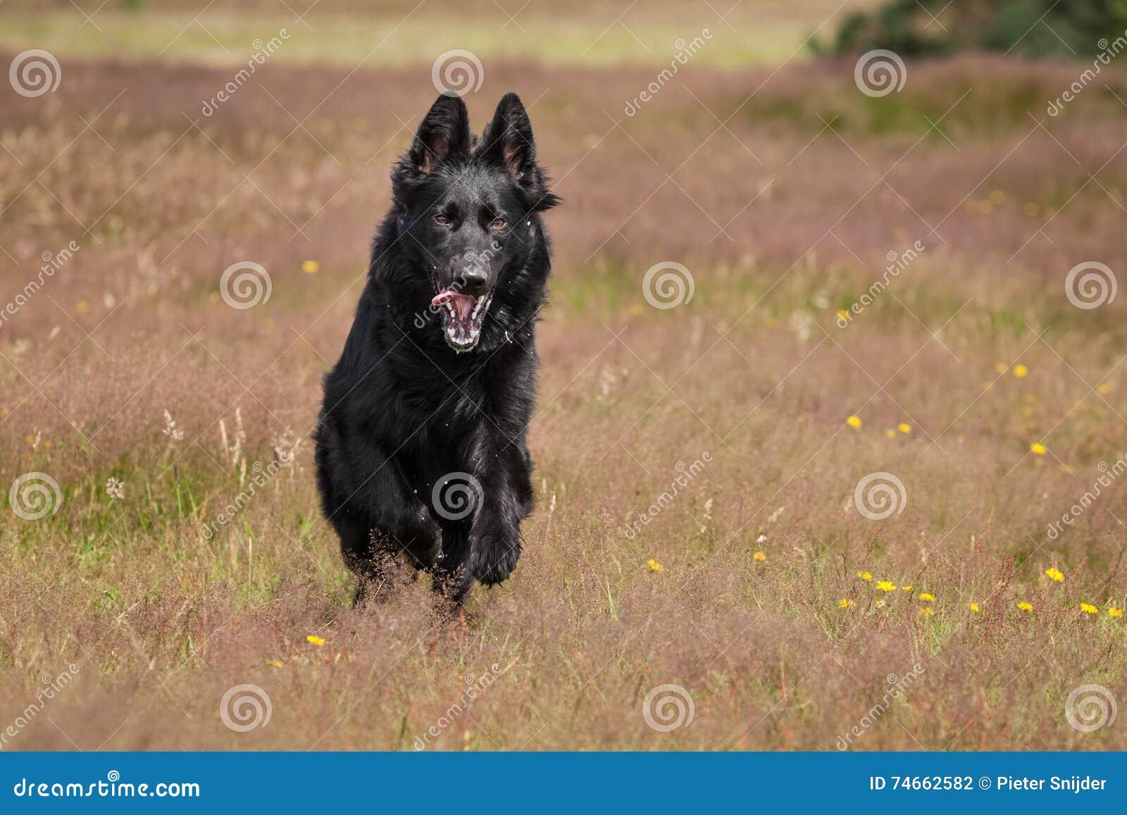 Μαύρο γερμανικό τρέξιμο ποιμένων