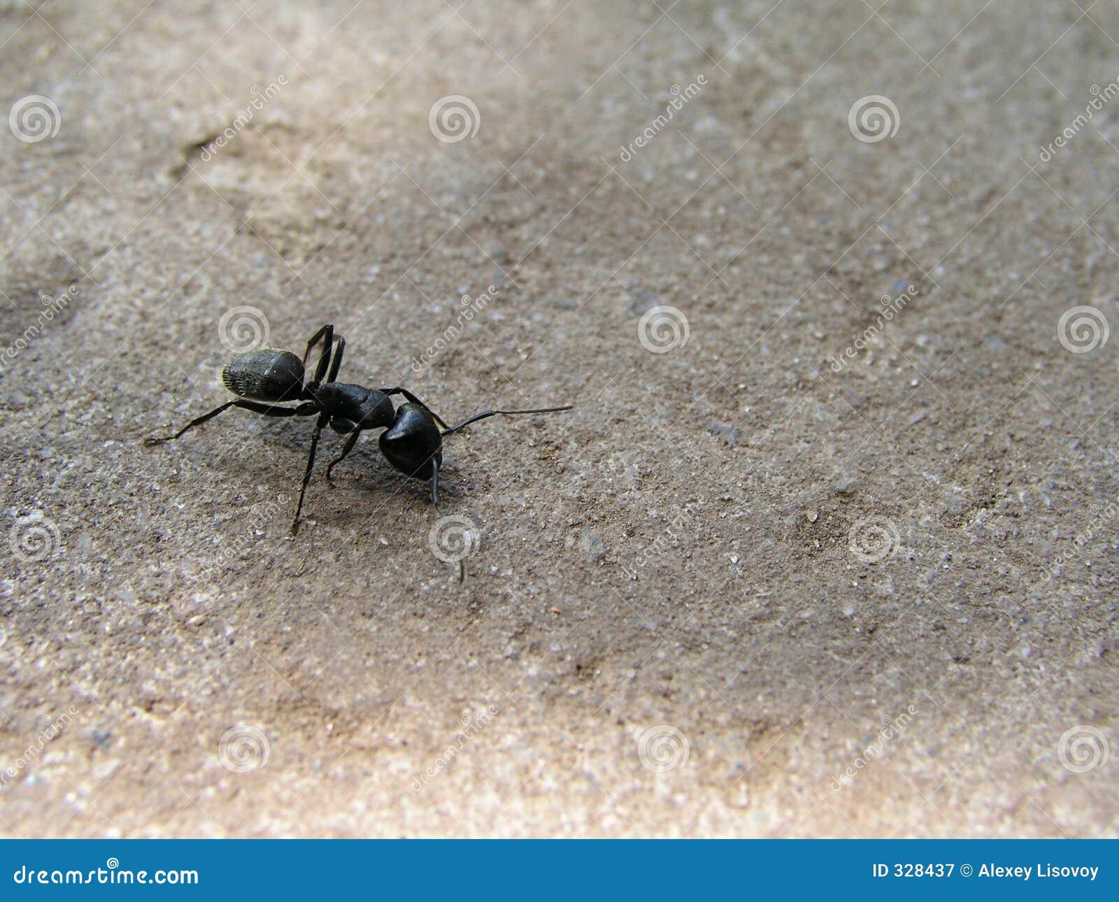 μαύρο δάσος μυρμηγκιών