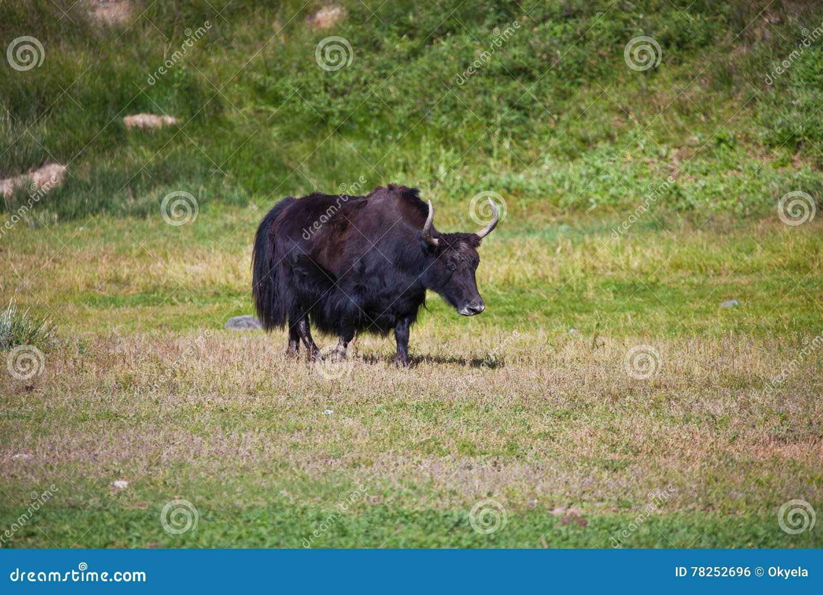 Μαύρο θηλυκό Yak με τα κέρατα είναι σε ένα λιβάδι mou της Τιέν Σαν